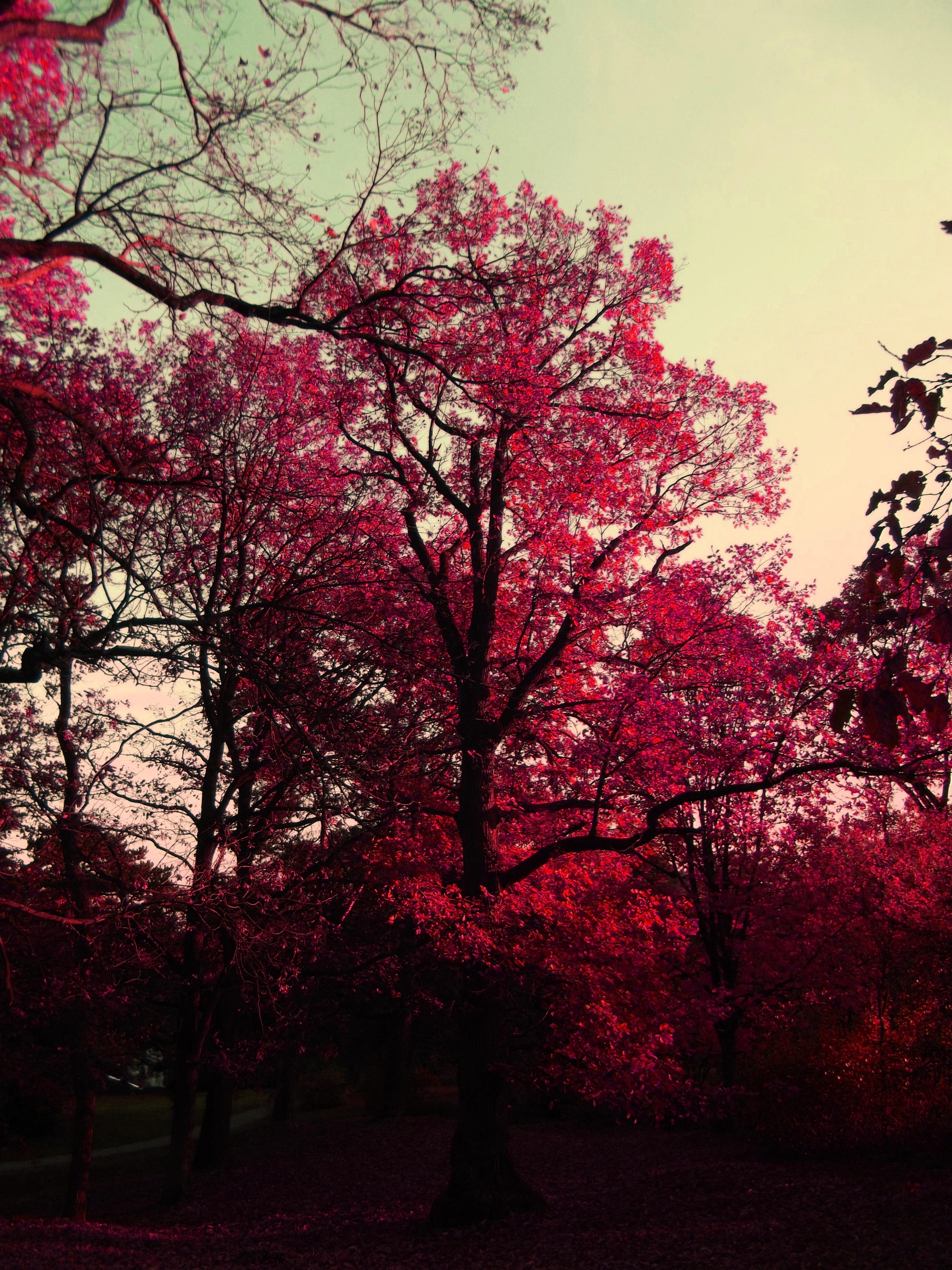 модель картинки с вишневым цветом можно