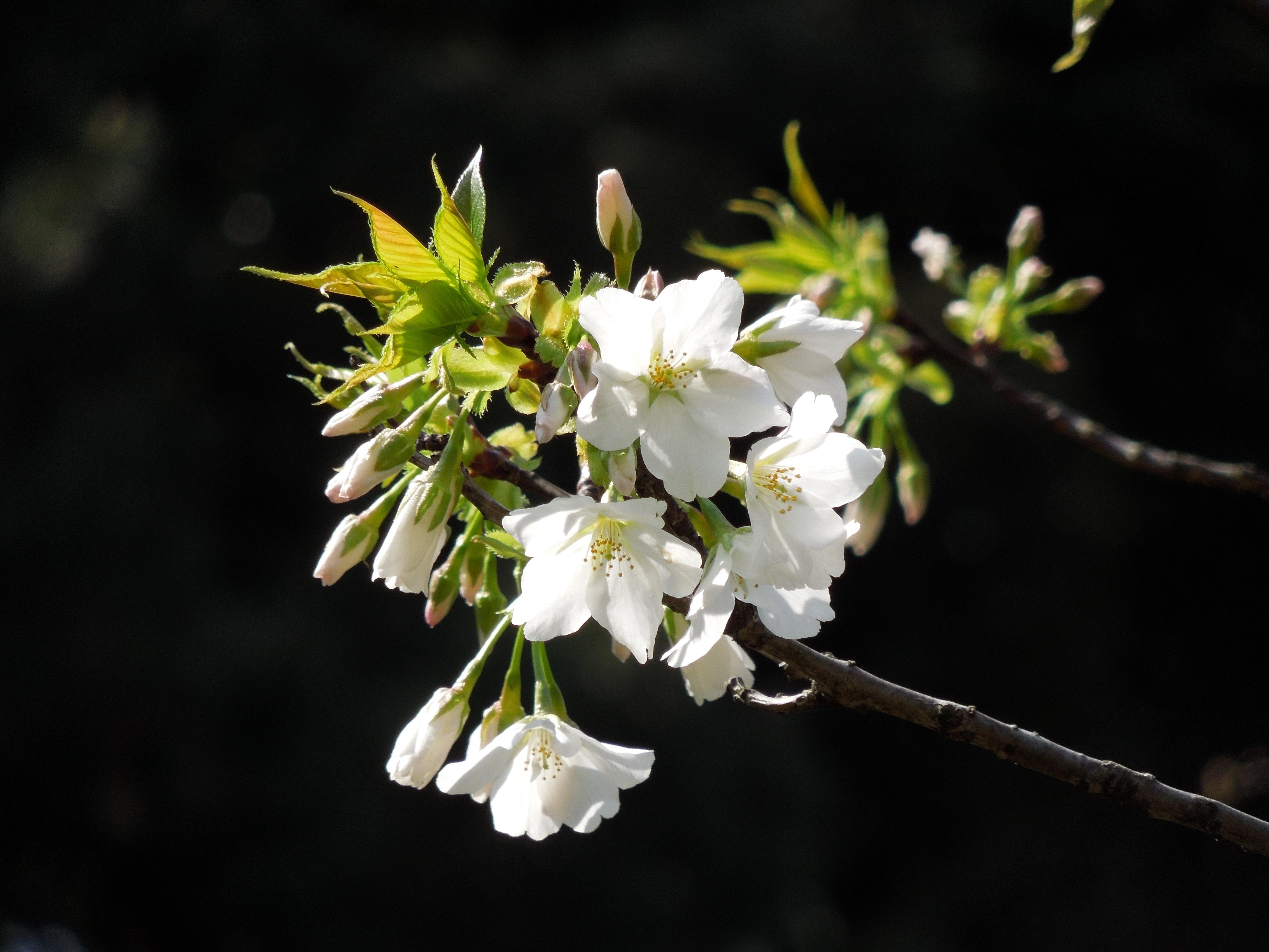Free Images Landscape Nature Branch Blossom White Fruit
