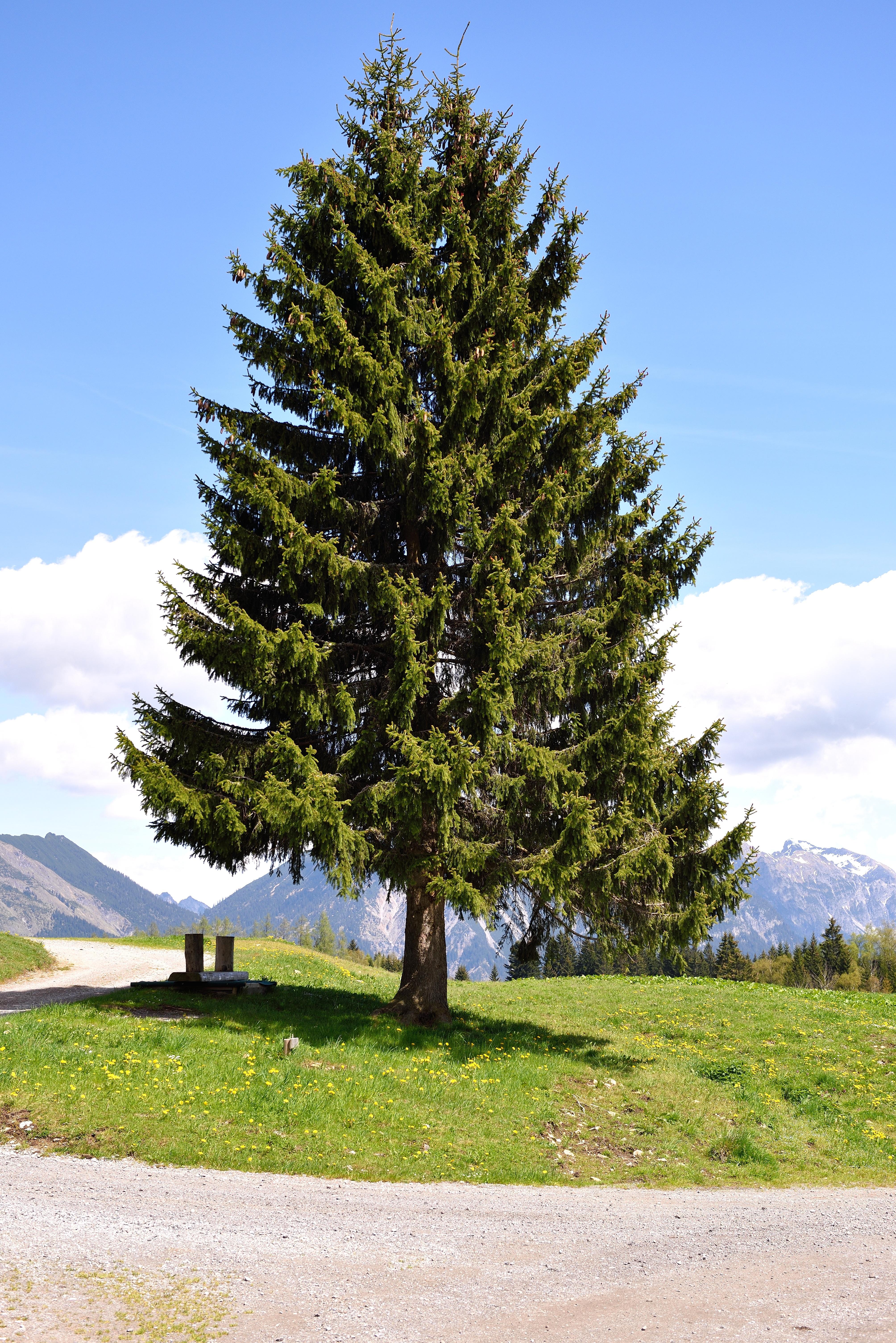 Fotos gratis paisaje naturaleza rama hojas perennes abeto rbol de navidad con fera - Arbol de navidad abeto ...