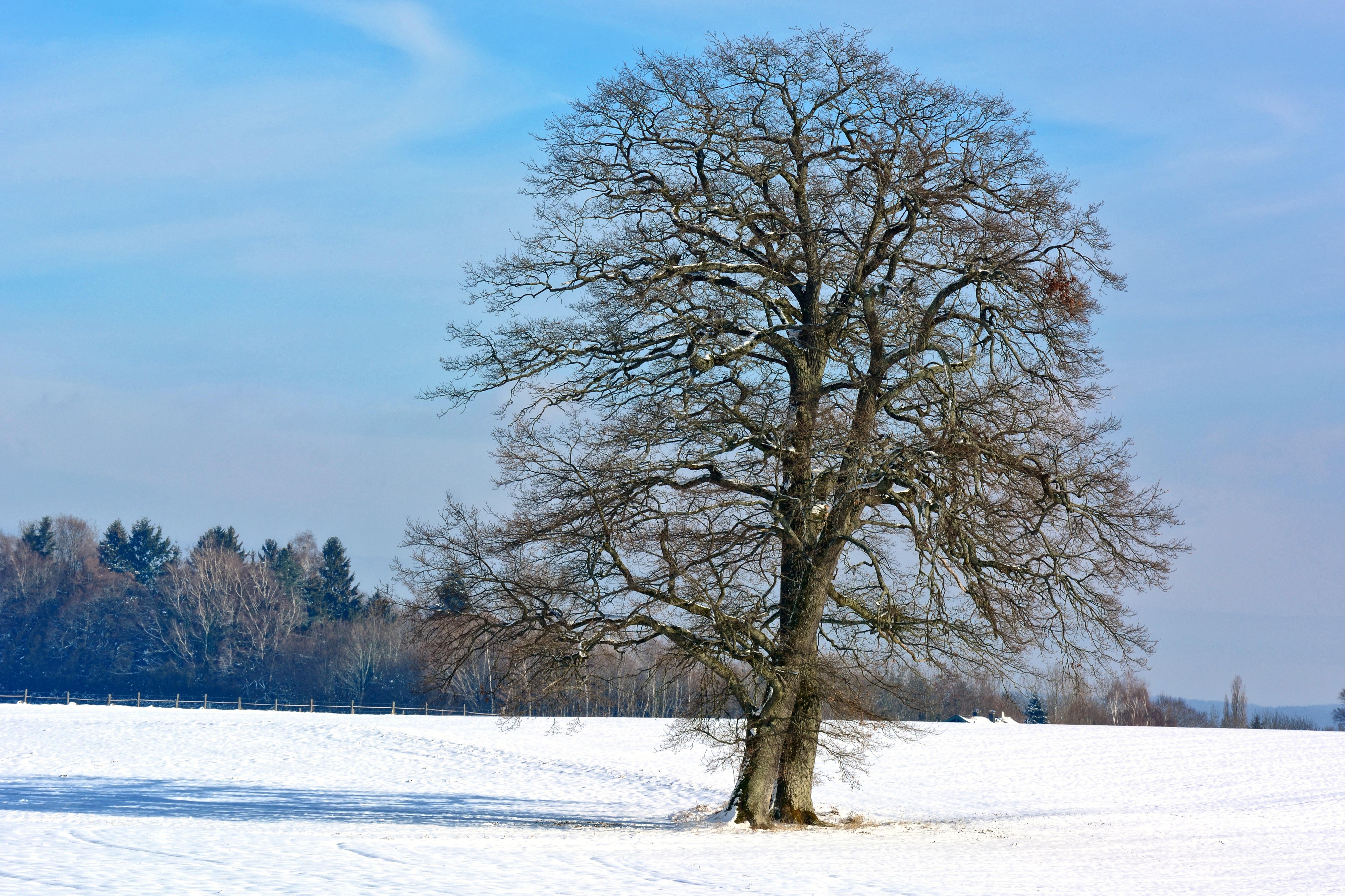 картинка дерево зимой без снега картина этого