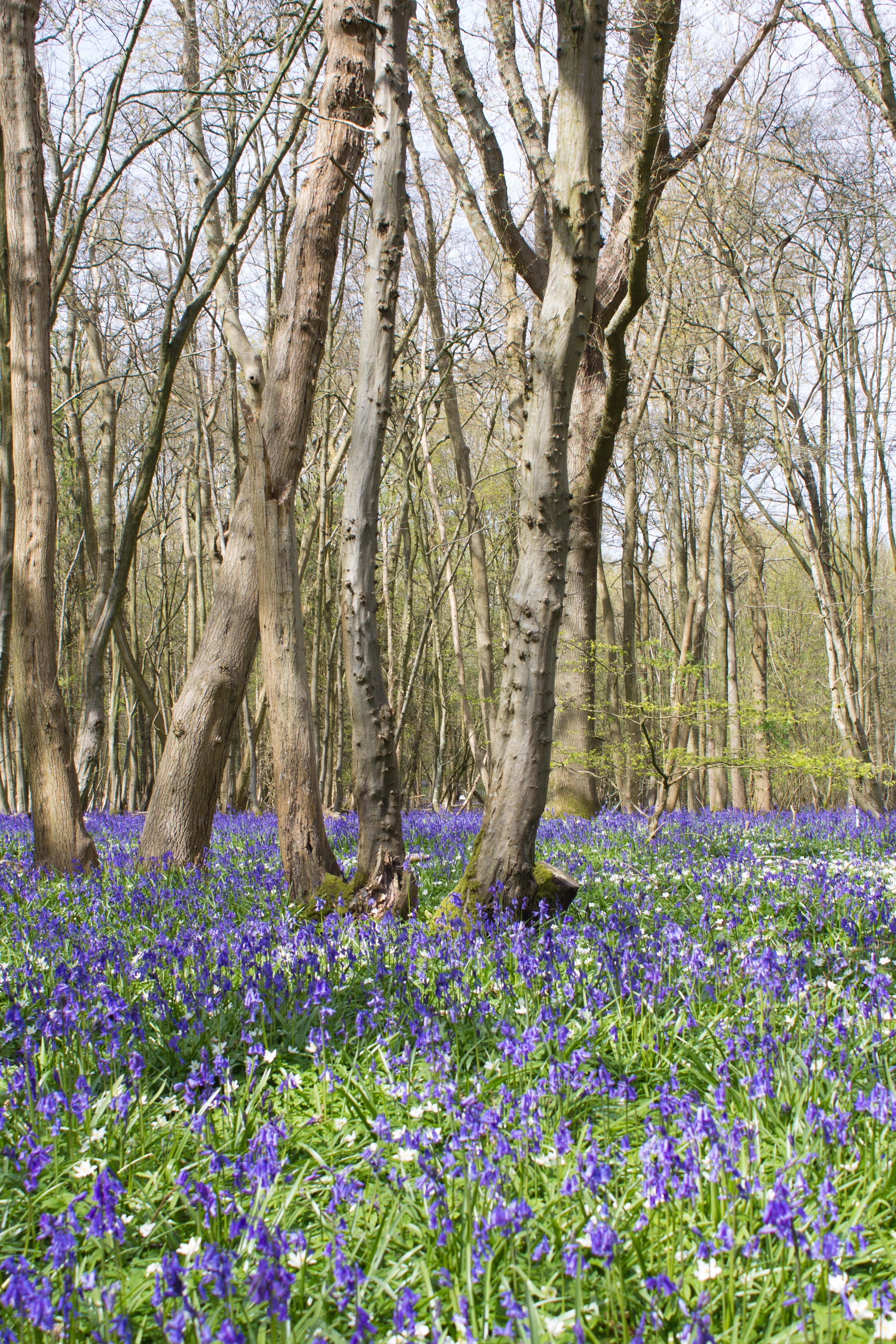 Fleur De Sous Bois Bleue images gratuites : paysage, arbre, la nature, forêt, fleur