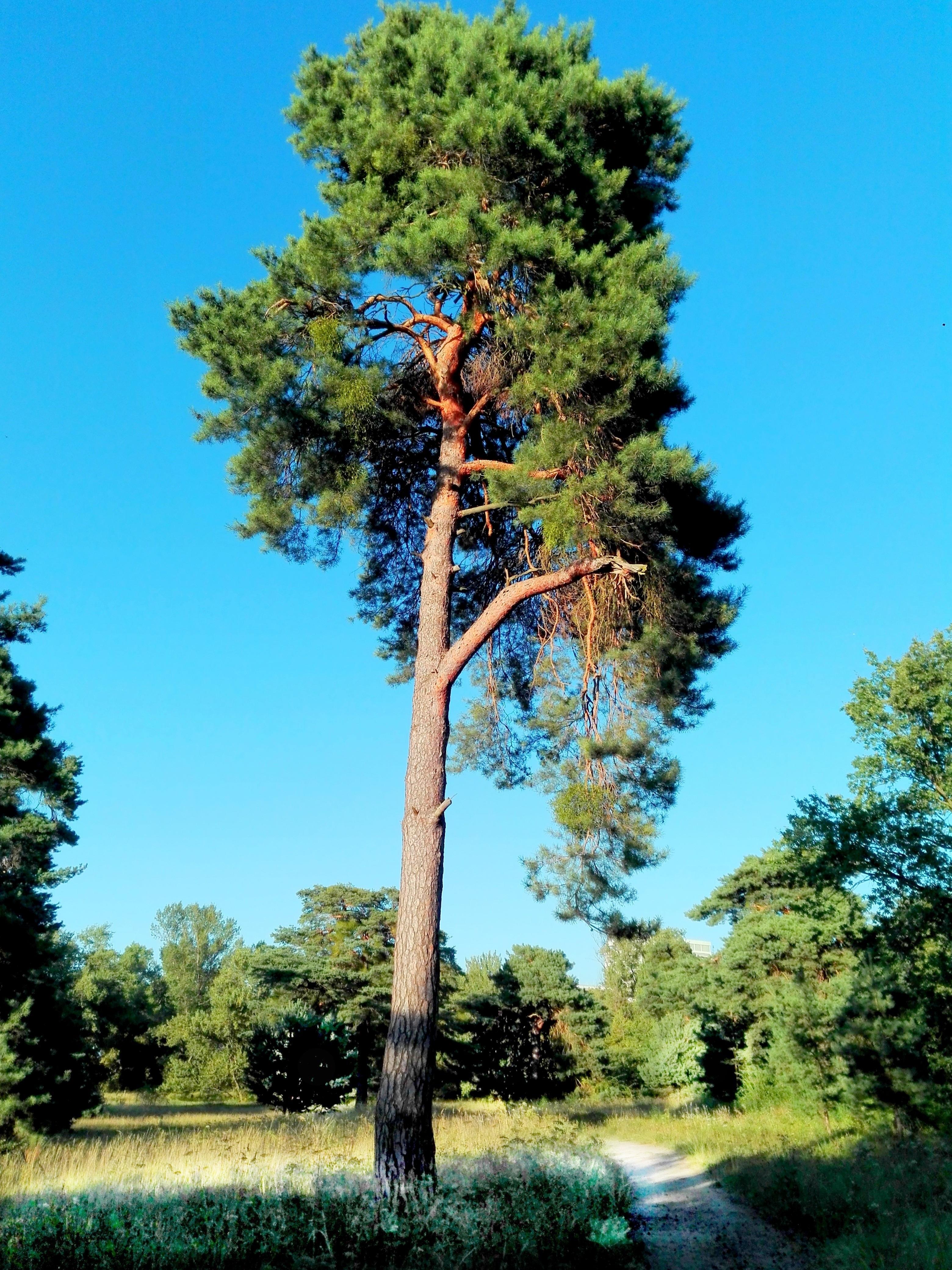 Картинки деревьев ели и сосны