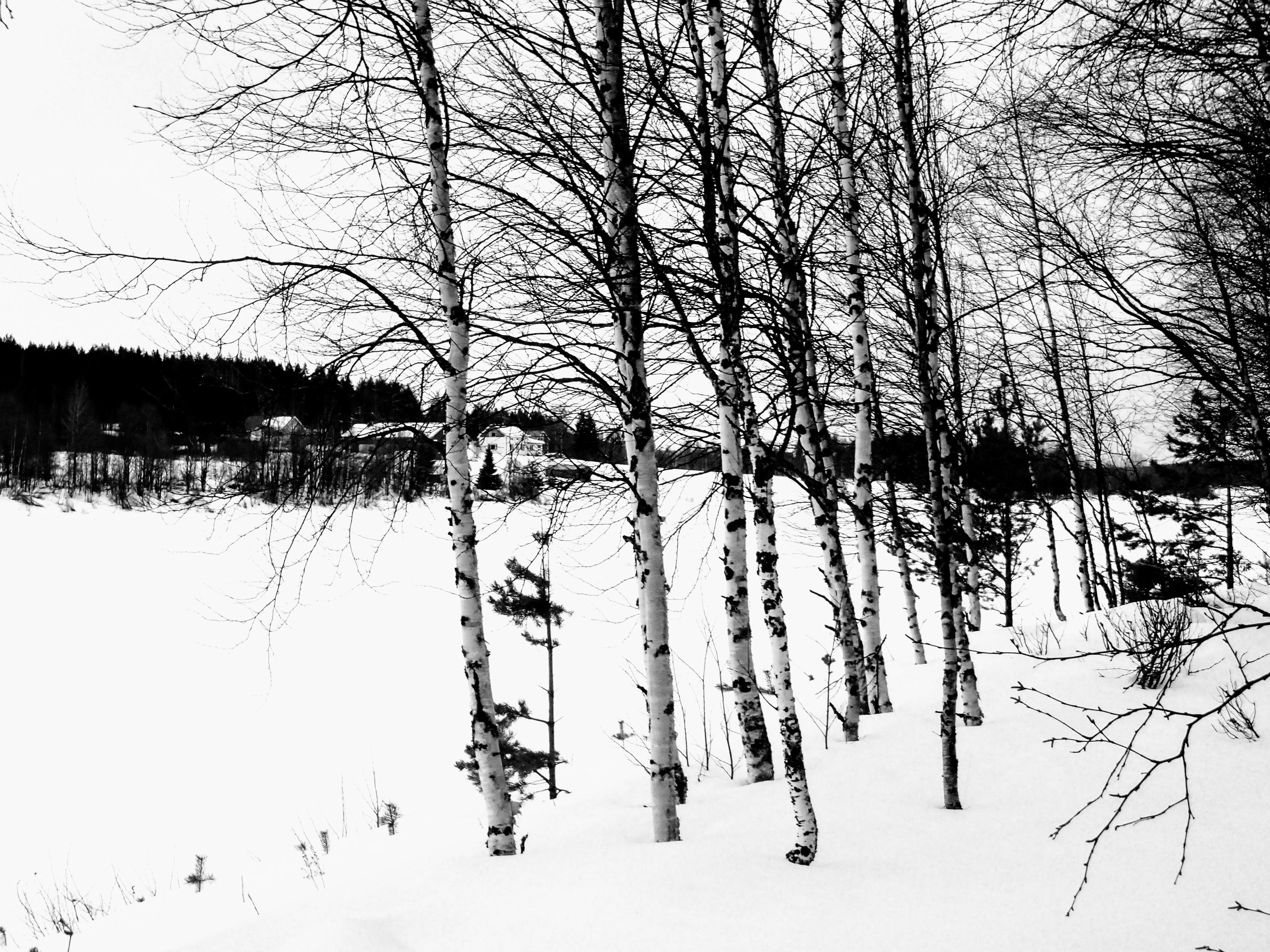 Gambar Pohon Alam Hutan Cabang Salju Musim Dingin