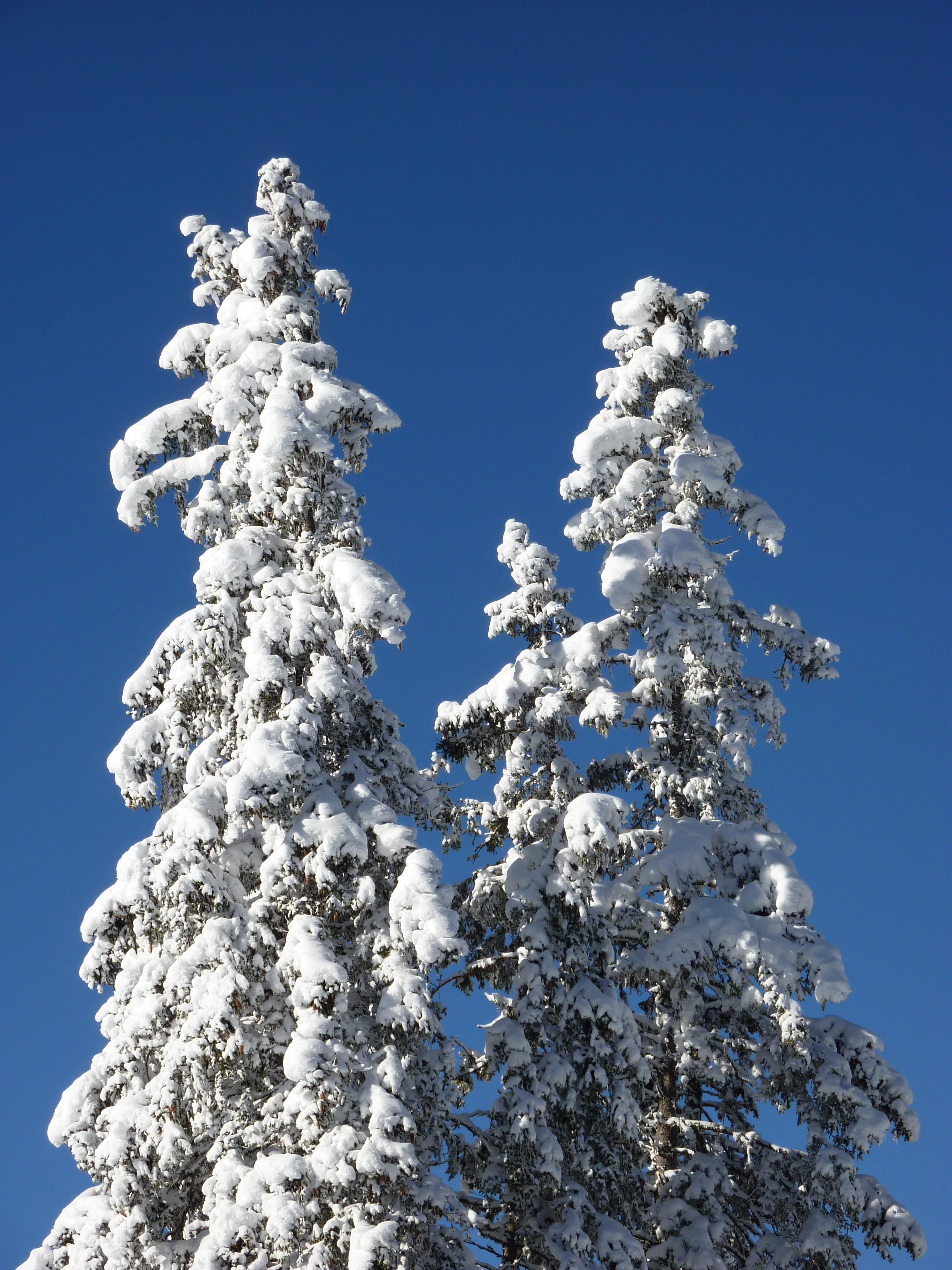 fotos gratis paisaje naturaleza bosque rama fro planta flor escarcha clima nevado abeto rbol de navidad temporada confera rboles