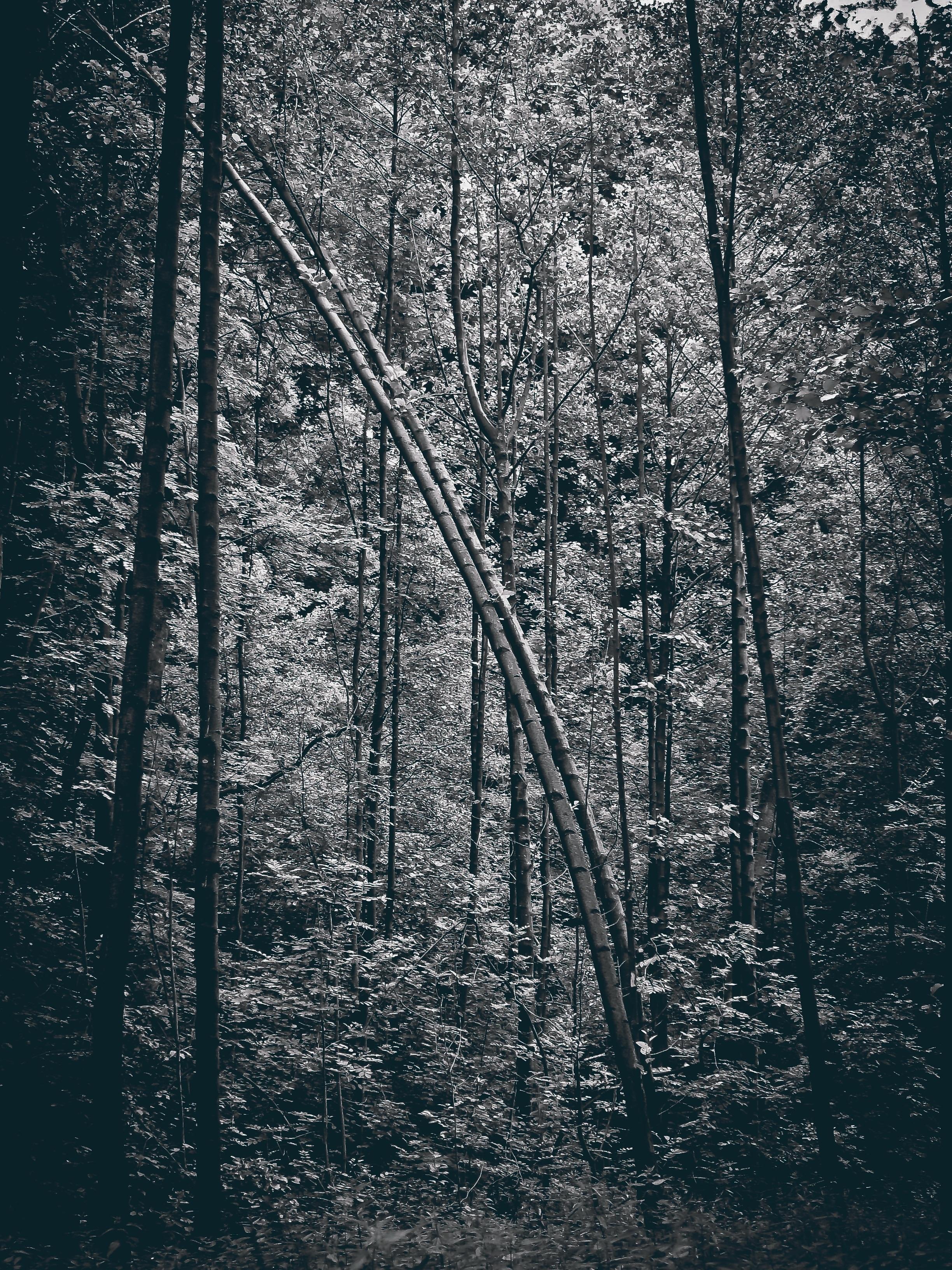 Gambar Pemandangan Pohon Alam Hutan Cabang Salju Musim Dingin Hitam Dan Putih Menanam Kabut Daun Embun Beku Mistik Gelap Malam Cuaca Kegelapan Satu Warna Estetis Ranting Aneh Suram Monggol Daerah Berhutan
