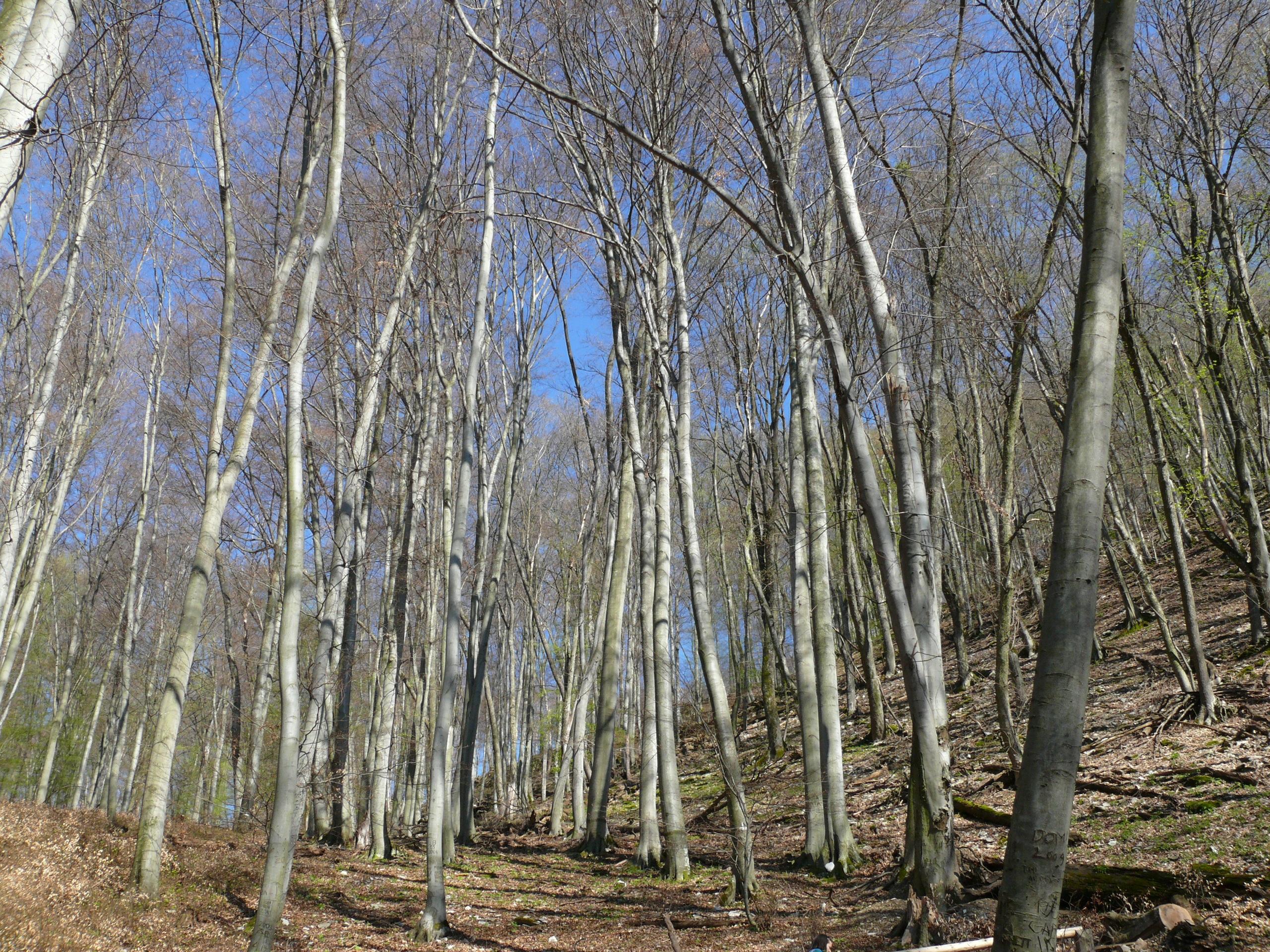 images gratuites paysage arbre la nature for t marais branche tronc bouleau des arbres. Black Bedroom Furniture Sets. Home Design Ideas