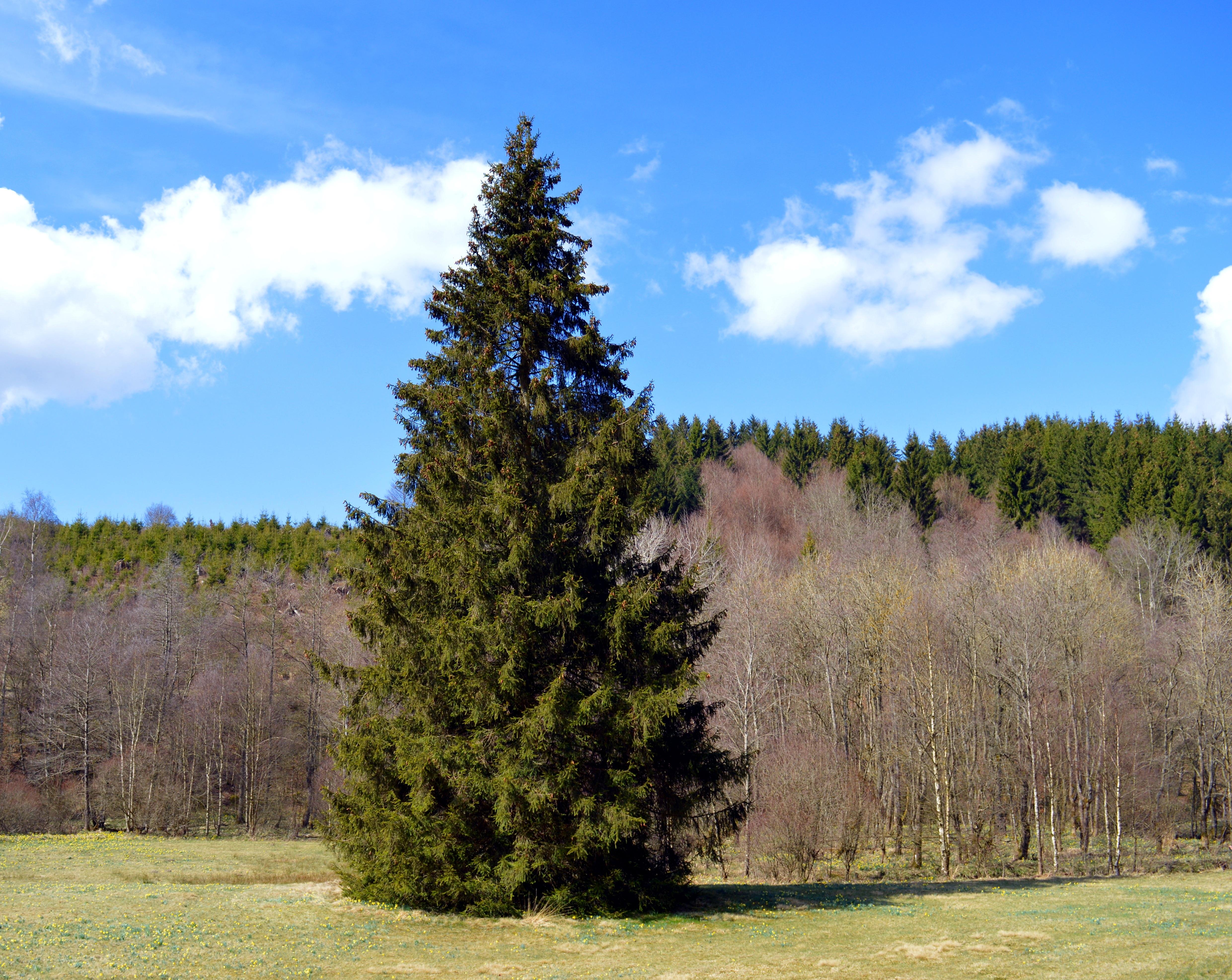 Лес с елками картинка