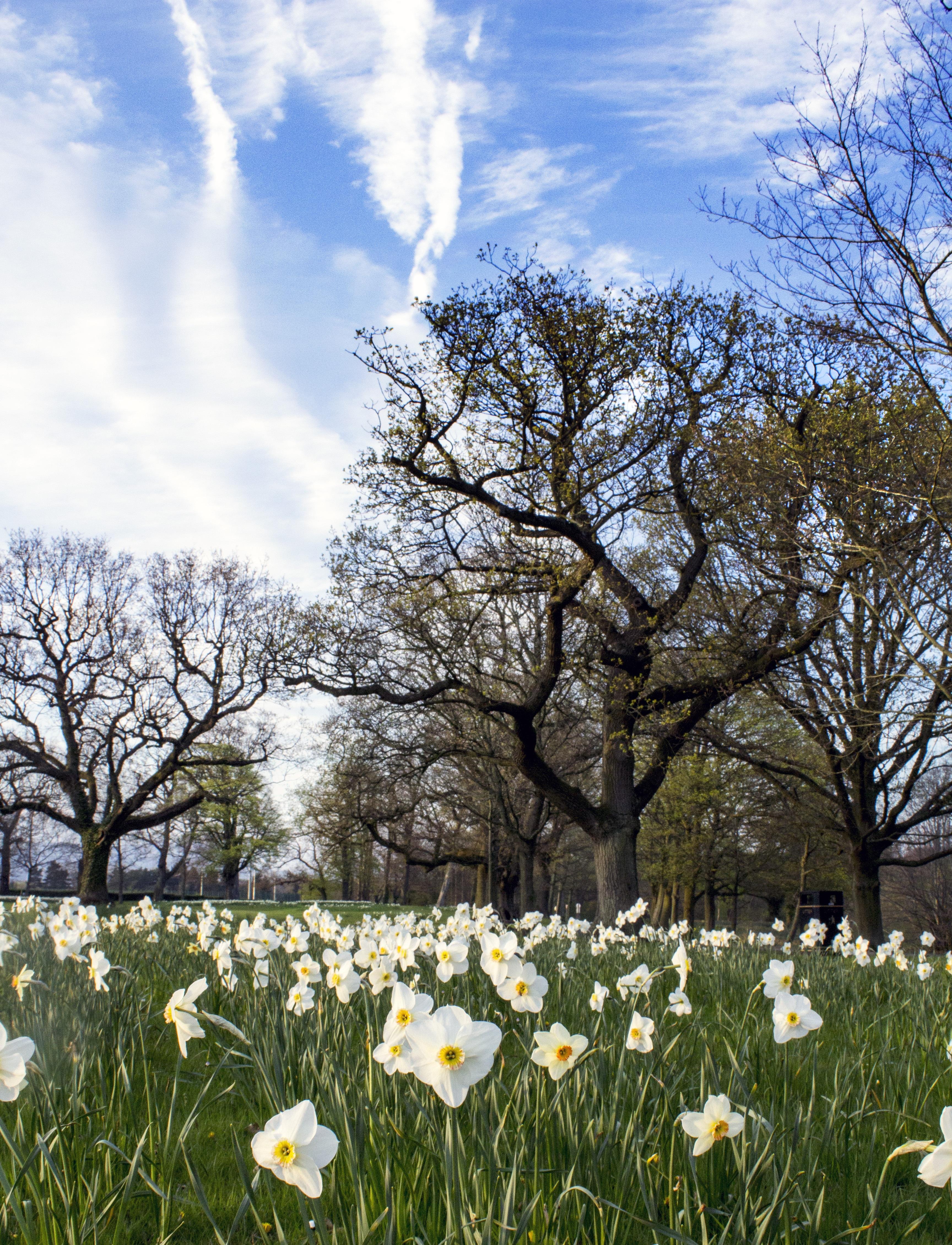 Images gratuites paysage arbre la nature herbe ciel blanc prairie lumi re du soleil - Jonquille sauvage des bois ...