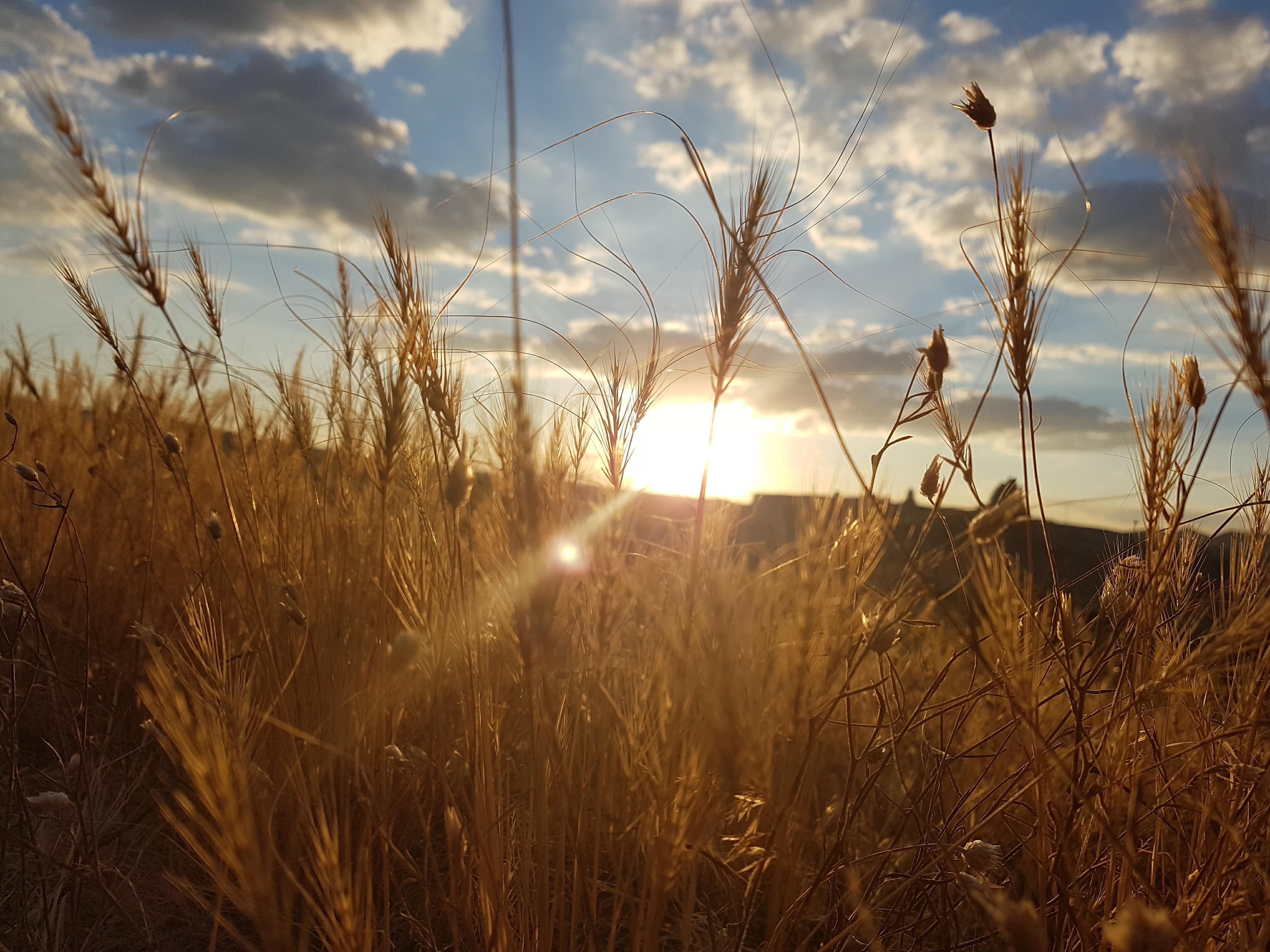 картинка рассвет и пшеница это только цвет