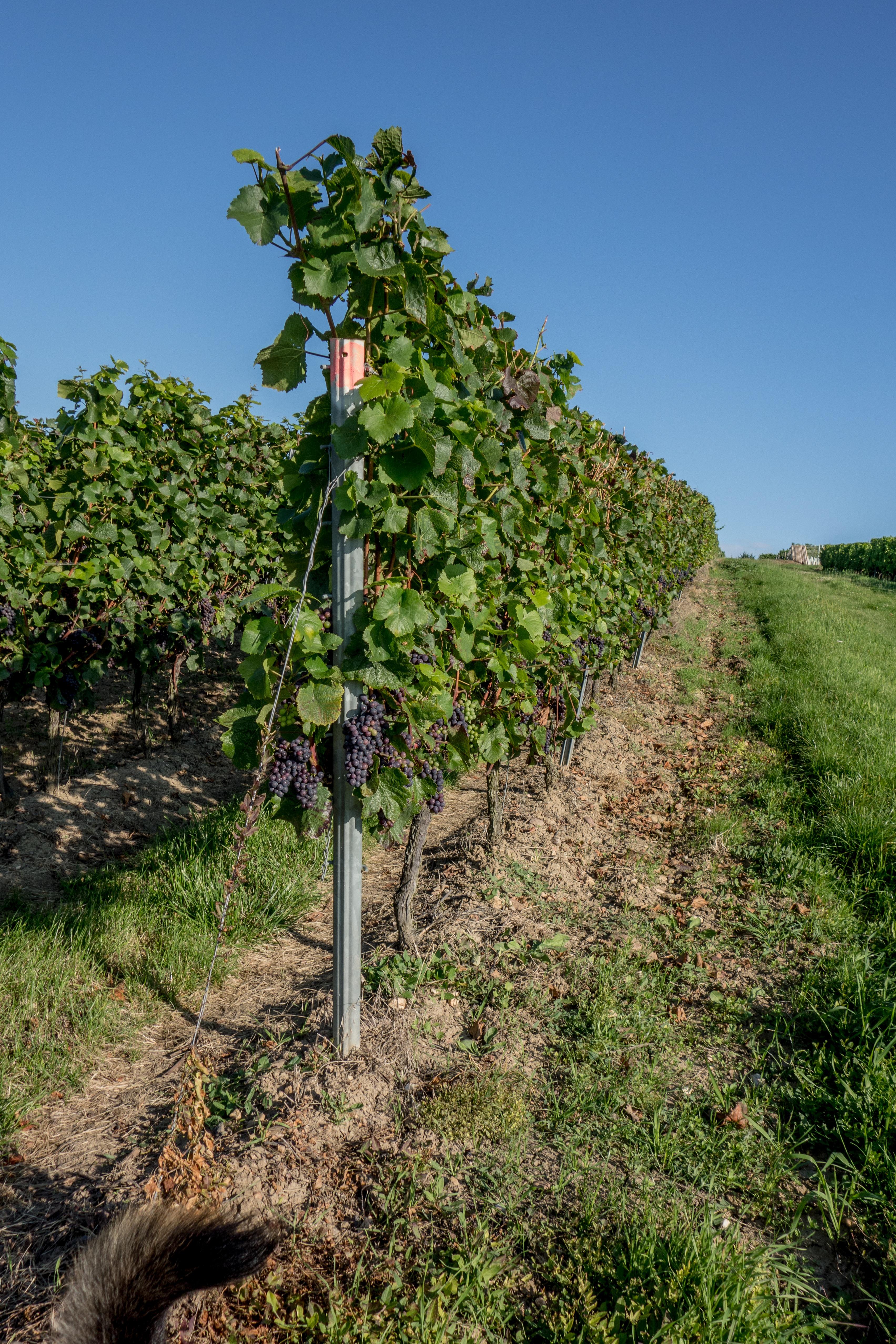 Images gratuites paysage arbre la nature vignoble du - L univers du jardin les rues des vignes ...