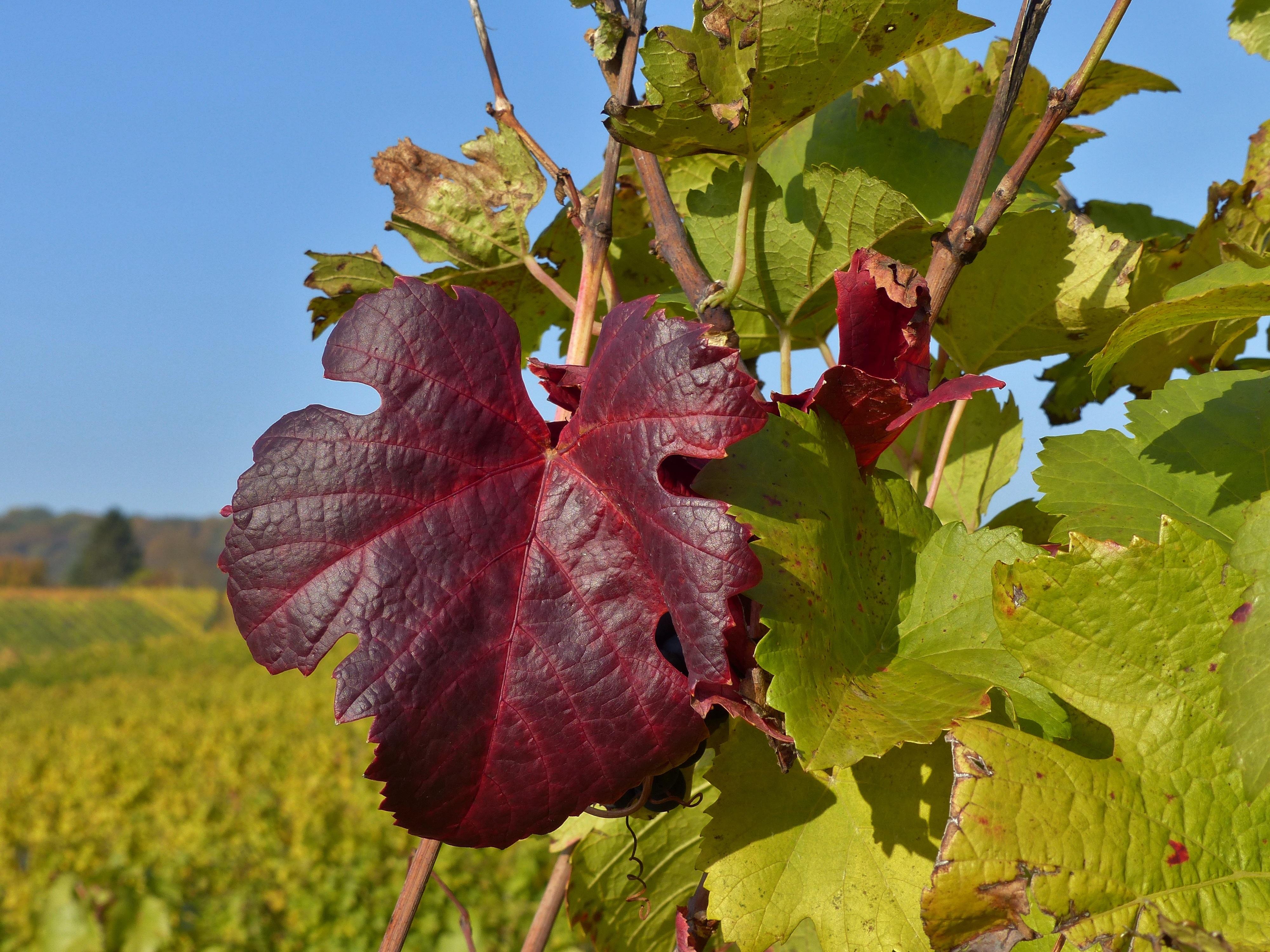 Fotoğraf Peyzaj Ağaç Asma üzüm Bağı şarap çiçek Gıda