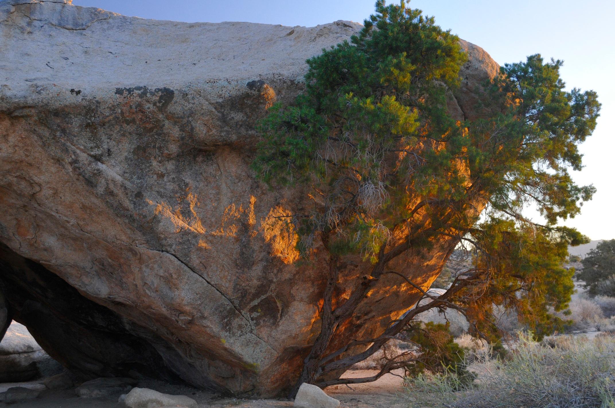только появившихся каменное дерево фото латиноамериканские