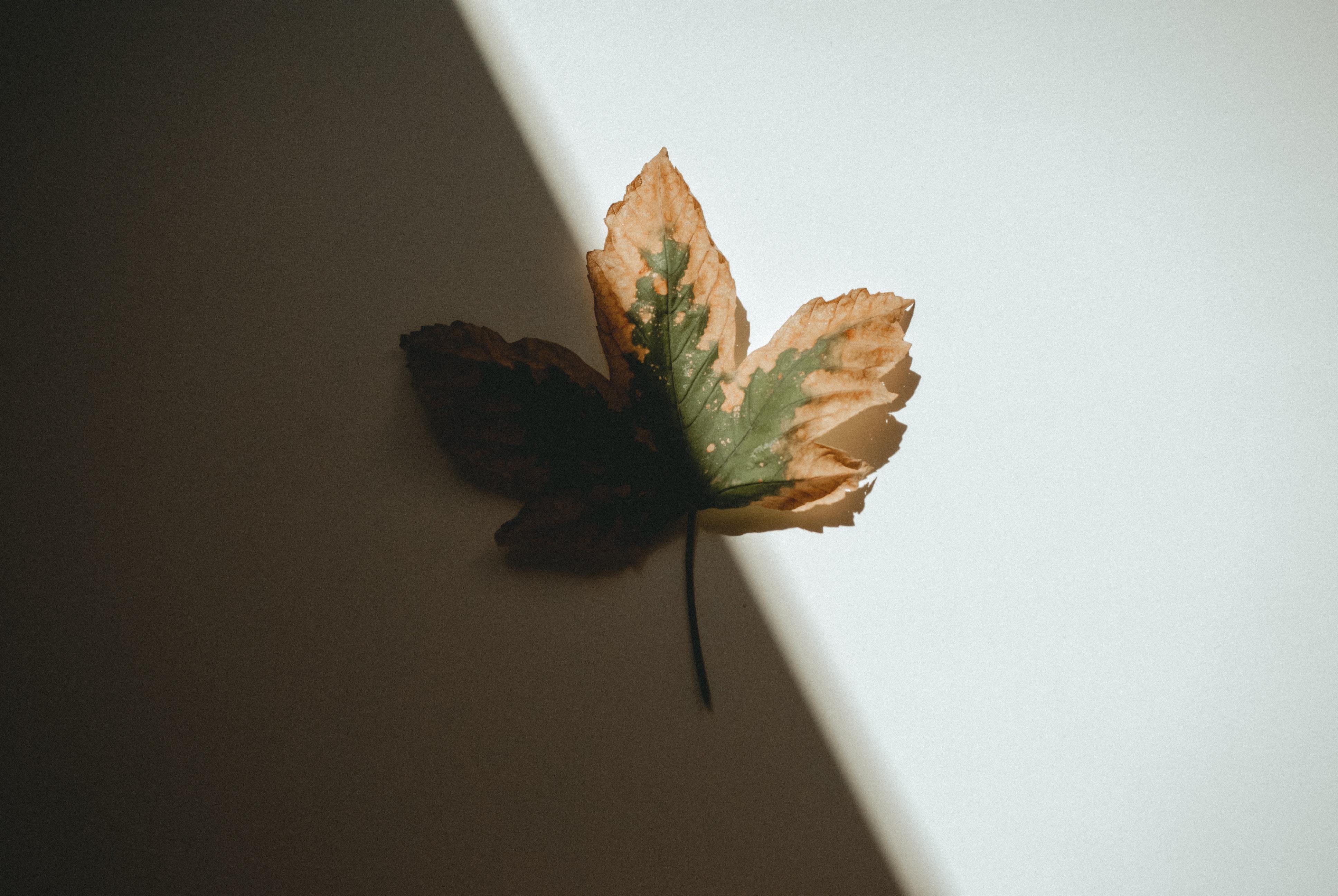 leaf brown plant tree paper maple leaf flower plane shadow plant stem still life photography 1534515