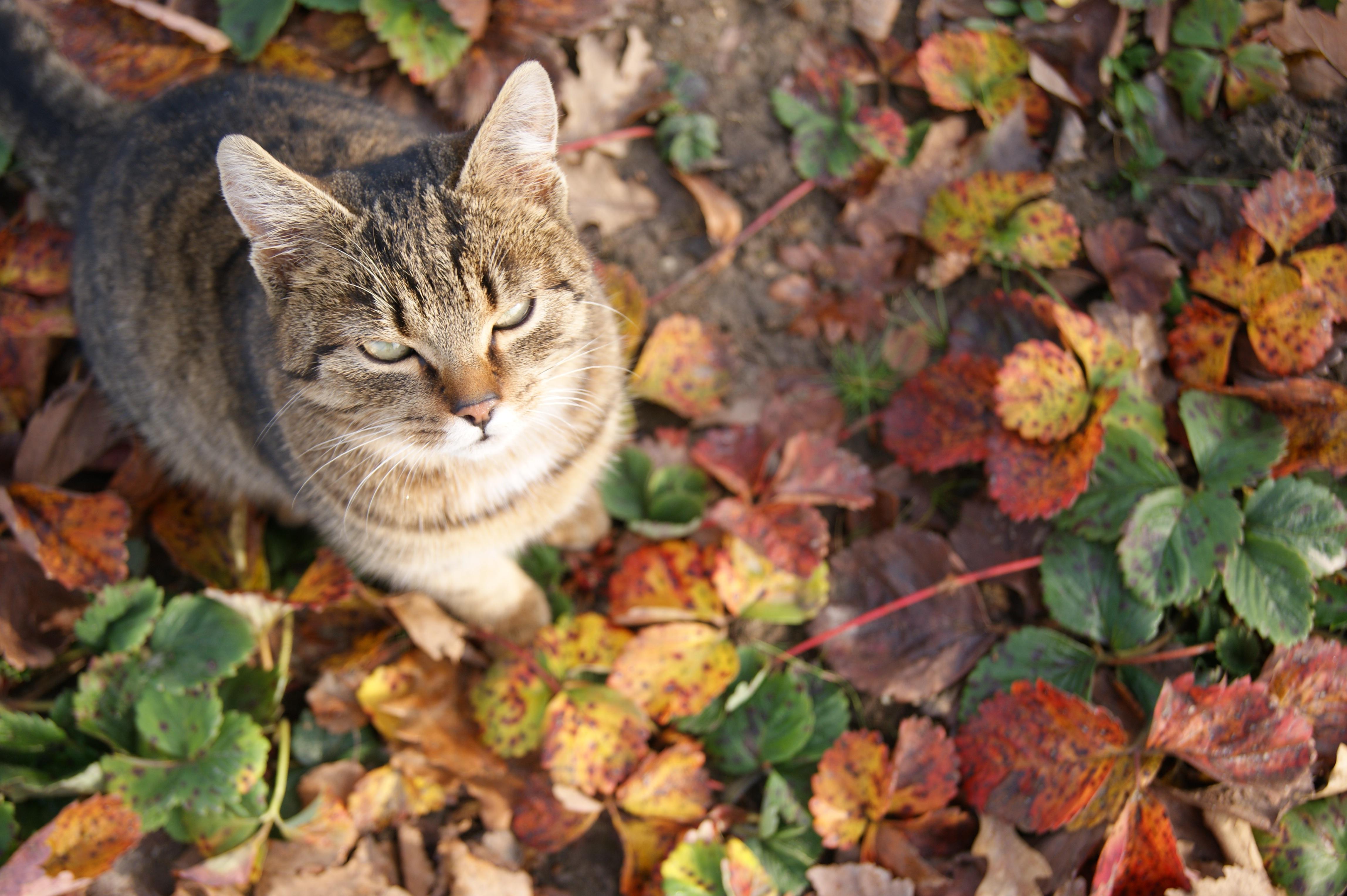 autunno fauna vertebrato fragole occhi di gatto un giovane gattino Gli occhi di gatto gatto Staring carcerato gatto seduto gatto selvatico