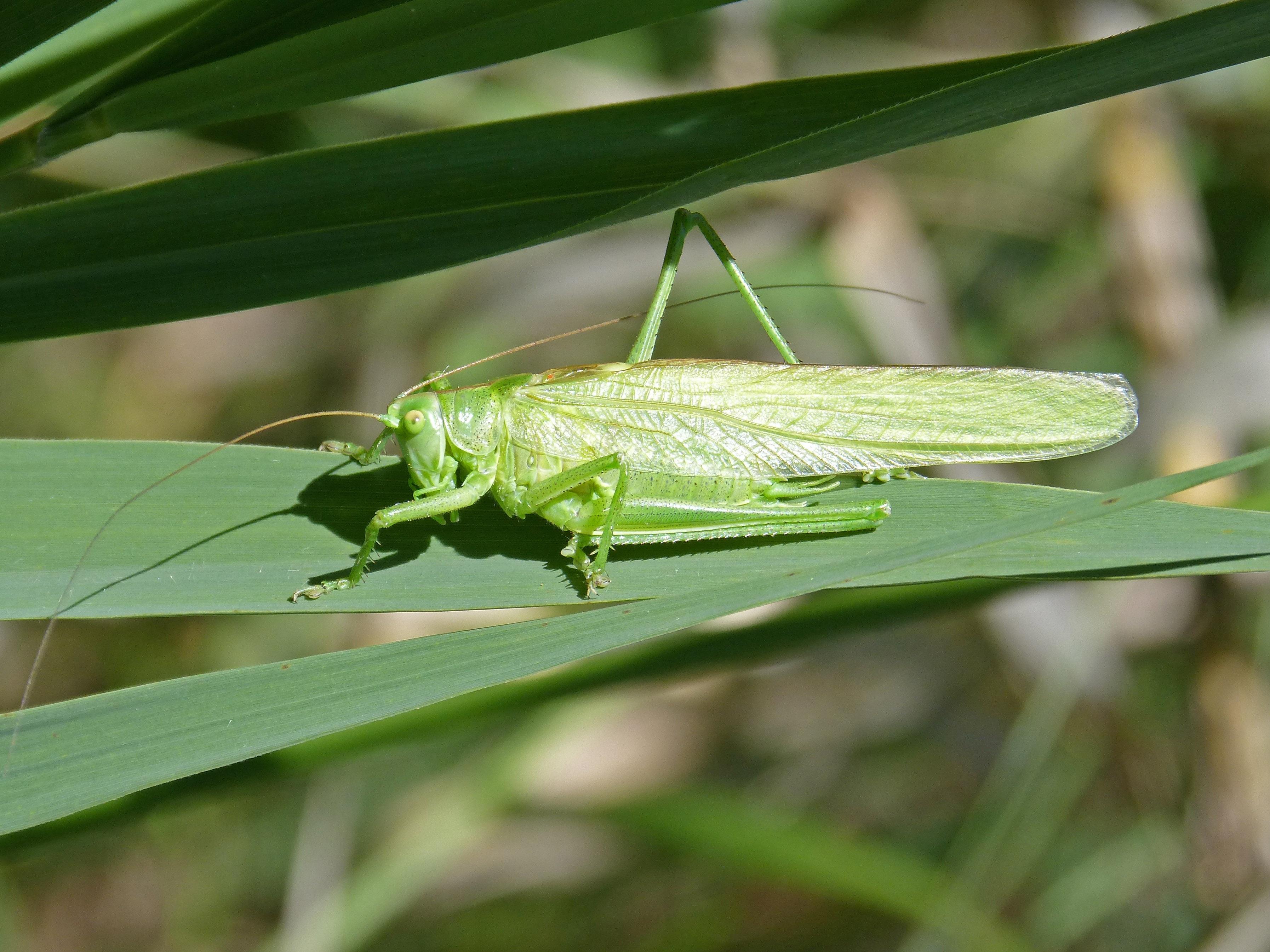 Gratis afbeeldingen blad groen fauna ongewerveld kreeft blad groen insect fauna ongewerveld kreeft waterjuffer sprinkhaan sprinkhaan antennes macrofotografie geleedpotige groene sprinkhaan orthopteron altavistaventures Images