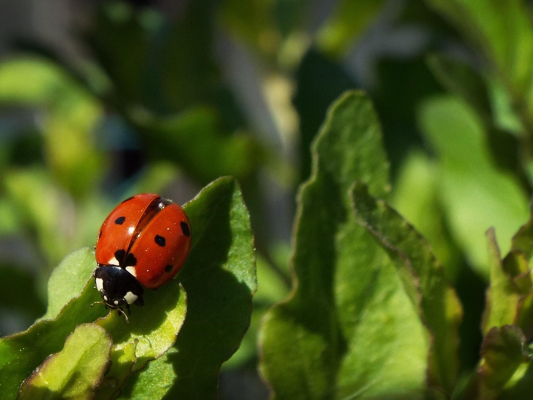 Leaf Insect Macro Ladybug Garden Ladybird Invertebrate Close Up Cool Image  Cool Photo Beetle Macro Photography