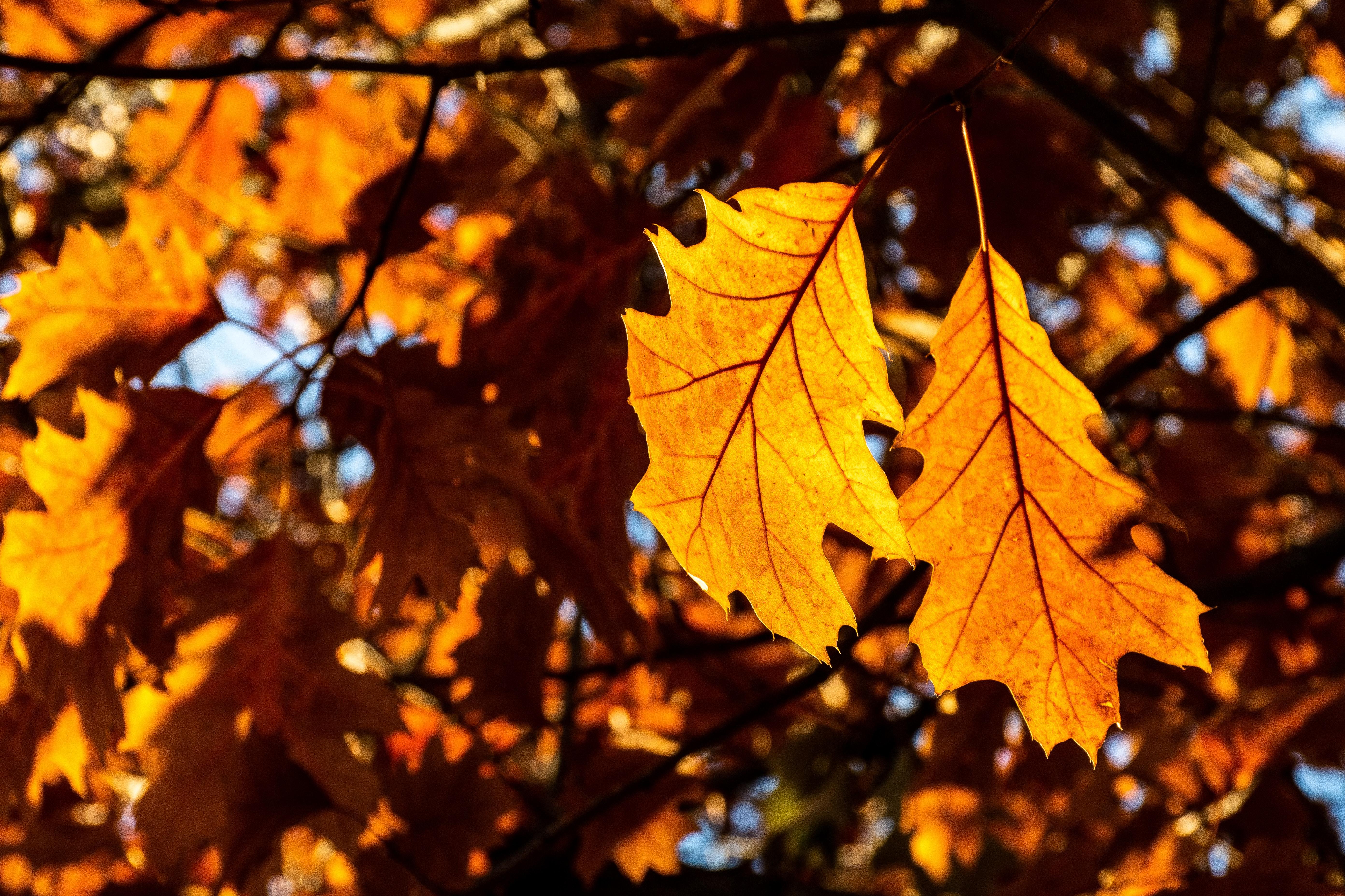 Free Images Maple Leaf Autumn Yellow Deciduous Branch