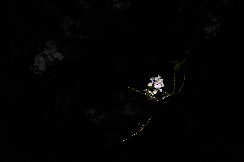 Pubg Wallpaper Black Background: 图片素材 : 光, 晚, 花, 黑暗, 弹簧, 黑色, 极限运动, 粉, 樱桃, 屏幕截图, 地球大气
