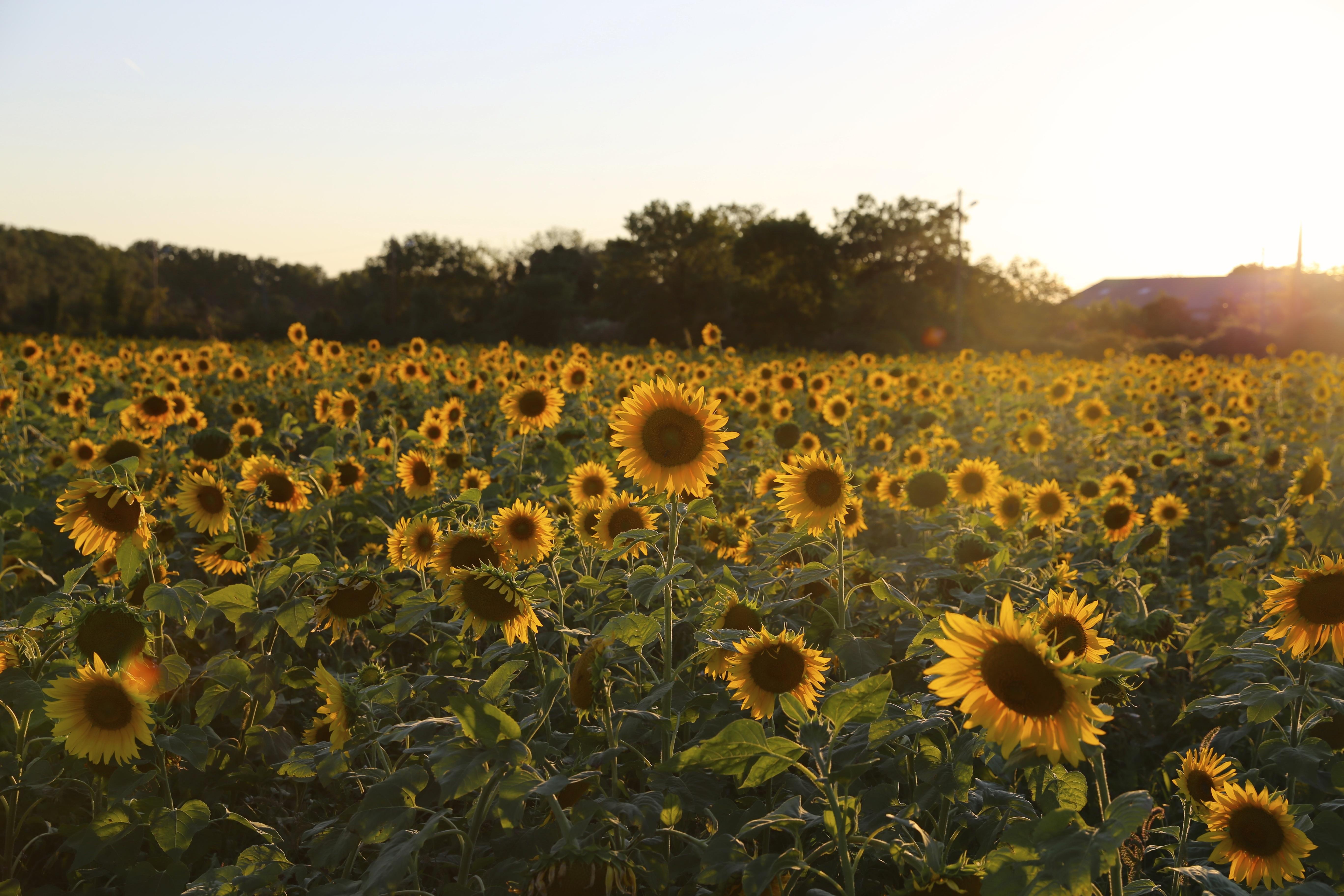 Gambar Cahaya Menanam Bidang Padang Rumput Sinar Matahari Pertanian Polos Bunga Matahari Bunga Liar Provence Tanaman Berbunga Keluarga Daisy Biji Bunga Matahari Tanaman Tanah 5472x3648 930105 Galeri Foto Pxhere