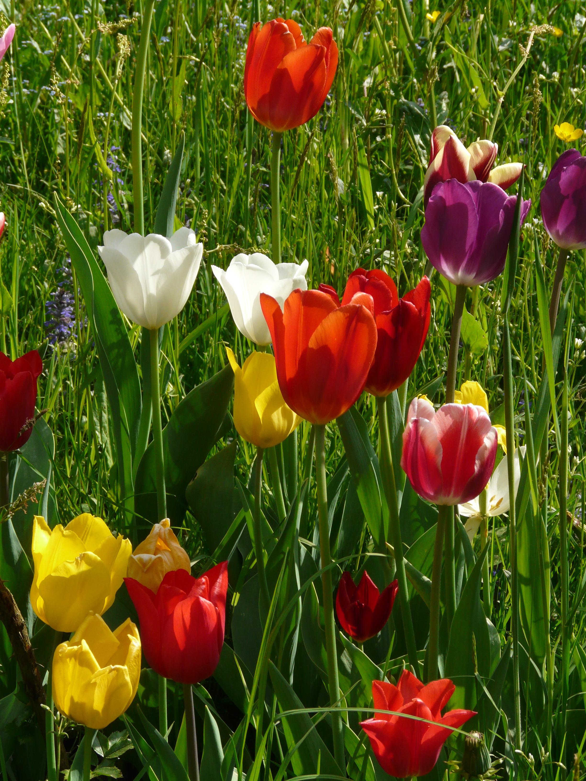 информация картинки с тюльпанами и весной азы