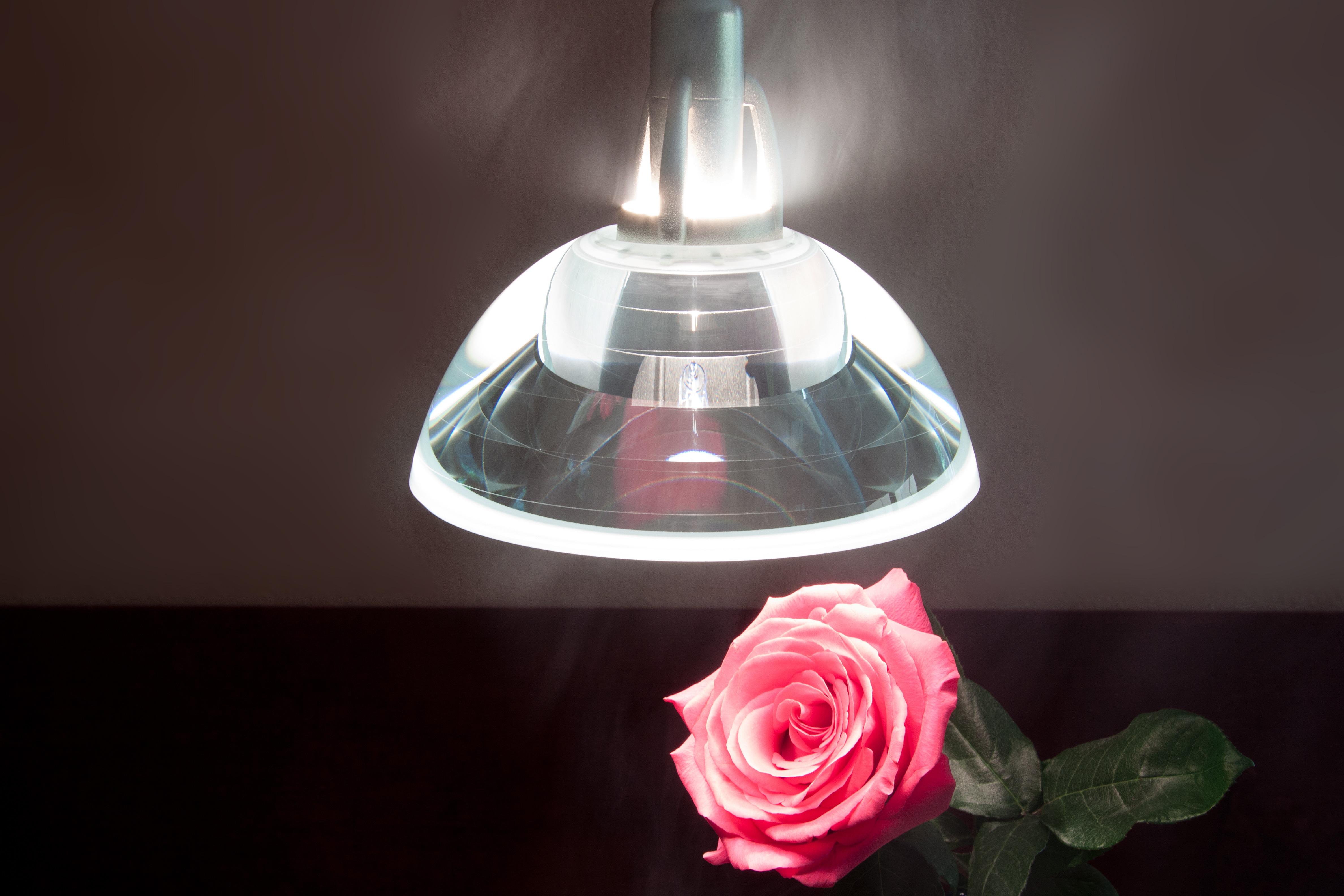 Free Images White Flower Petal Rose Red Pink Lighting