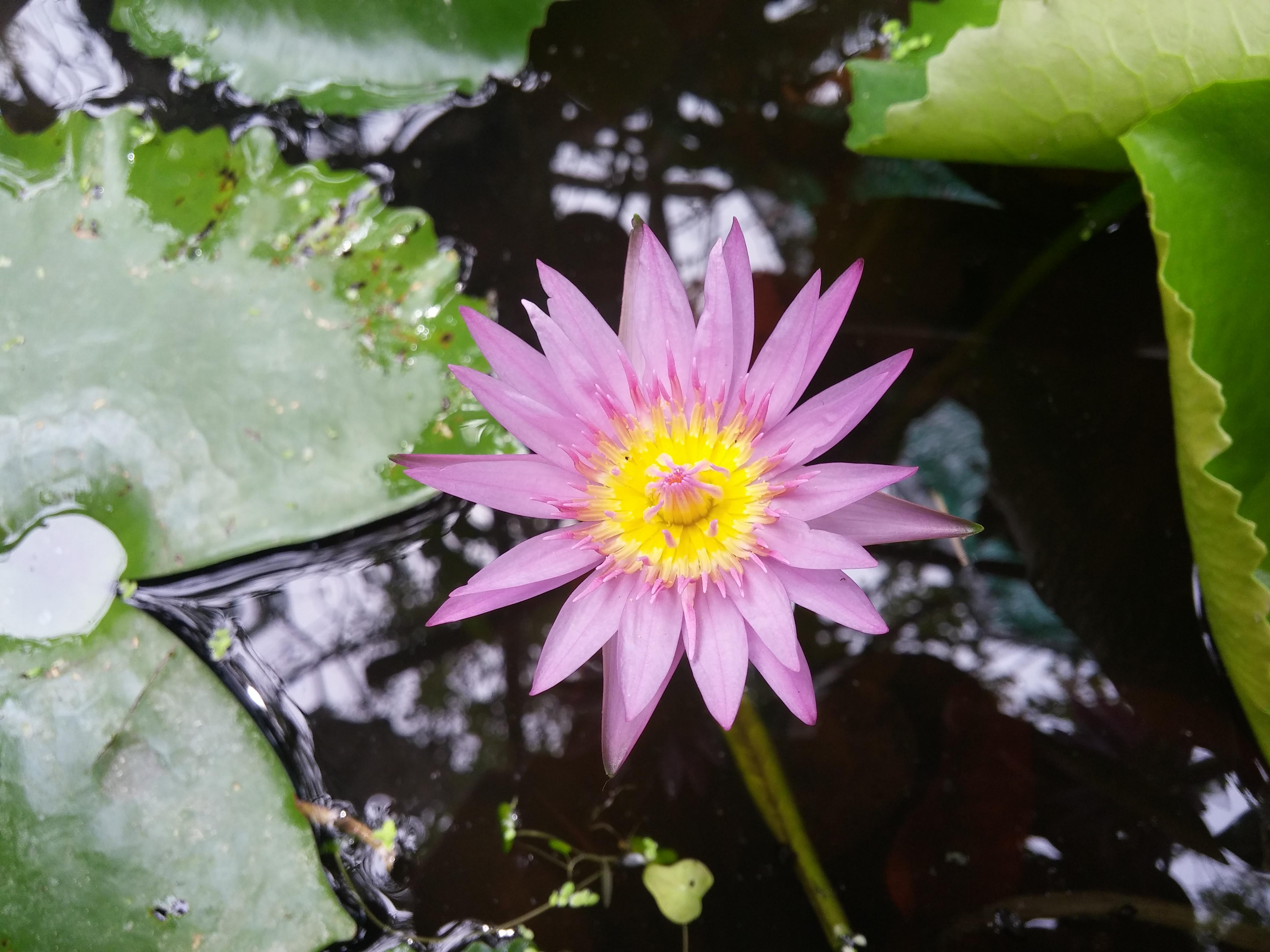 Gambar Bunga Lili Flora Menanam Tanaman Air Seroja Teratai Keluarga Lotus Bunga Liar Daun Bunga Proteales Tanaman Tahunan Keluarga Lily Tanaman Berbunga 4160x3120 Minh Idnh 1459037 Galeri Foto Pxhere