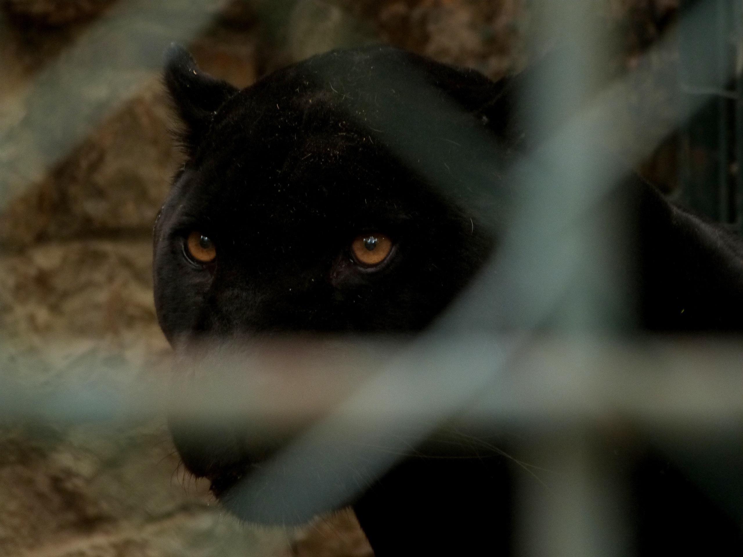Bien connu Images Gratuites : En regardant, zoo, chat noir, faune, cage, gros  DM94