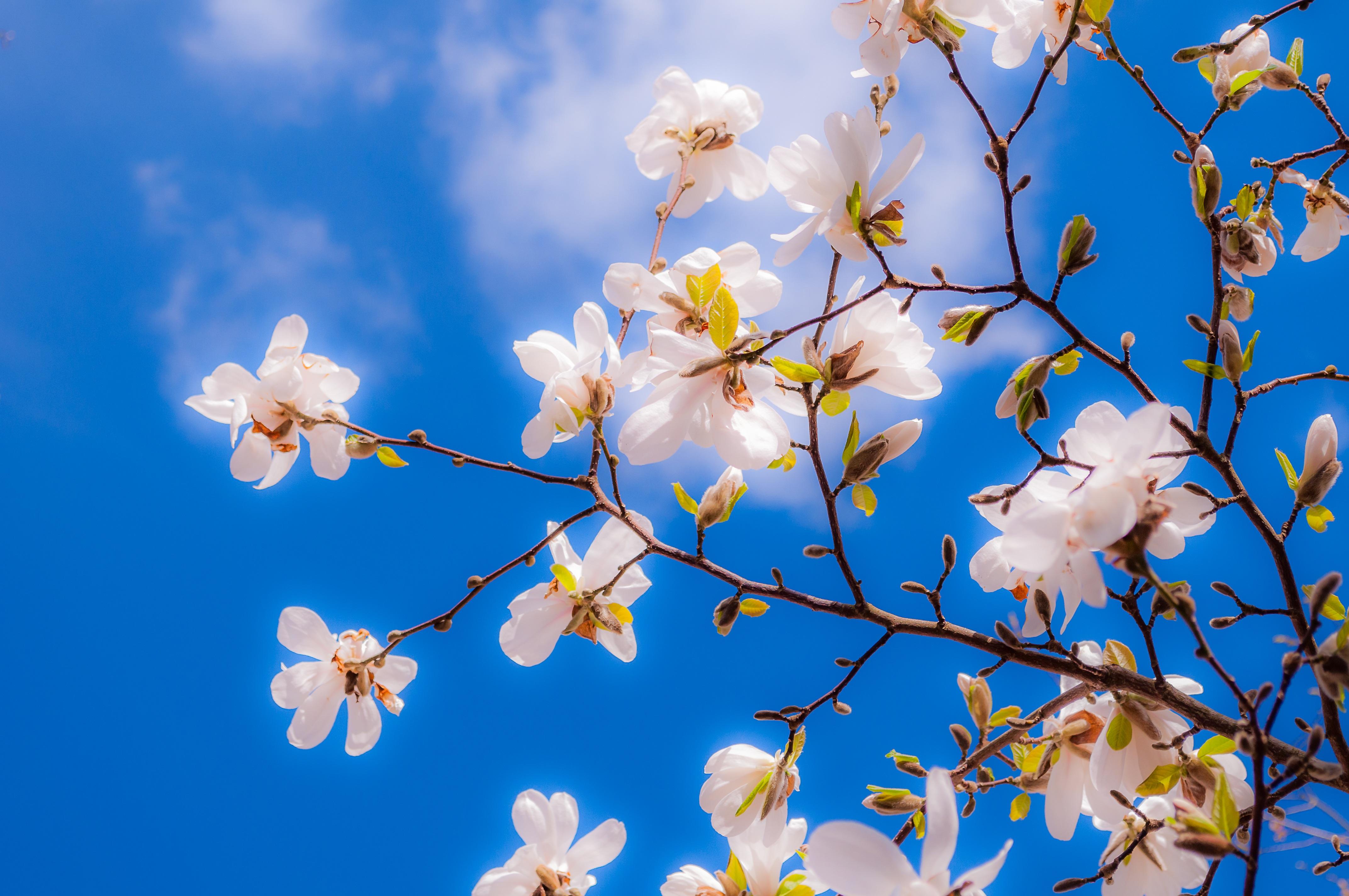 Images Gratuites : magnolia, fleurs, printemps, bourgeon, arbre, rose, pleine floraison, Fr ...