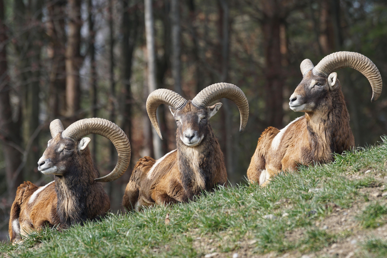 servis ruština malé kozy