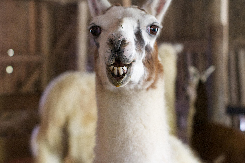 Поздравление сделать, смешная лама картинка