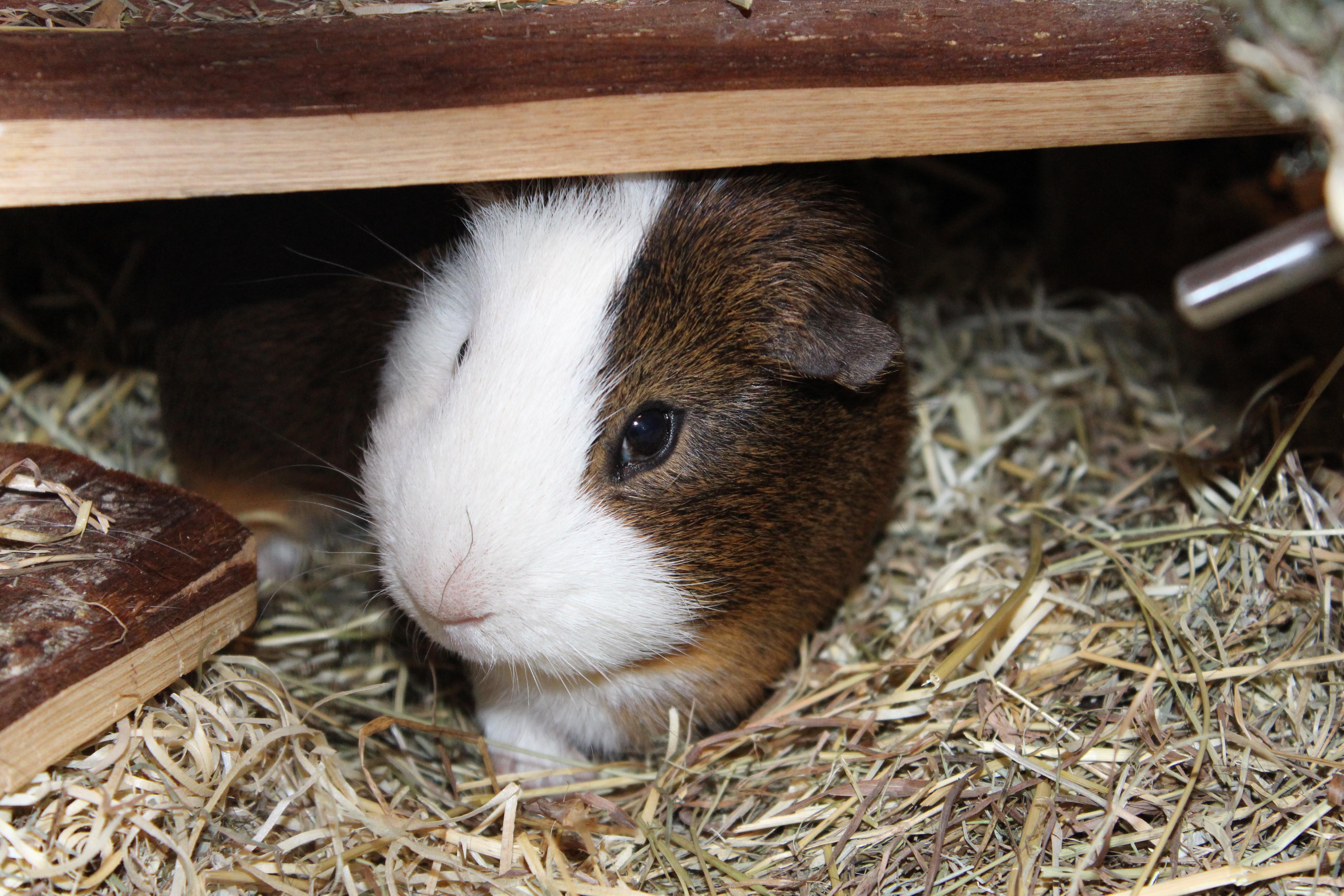 78+ Gambar Babi Guinea HD