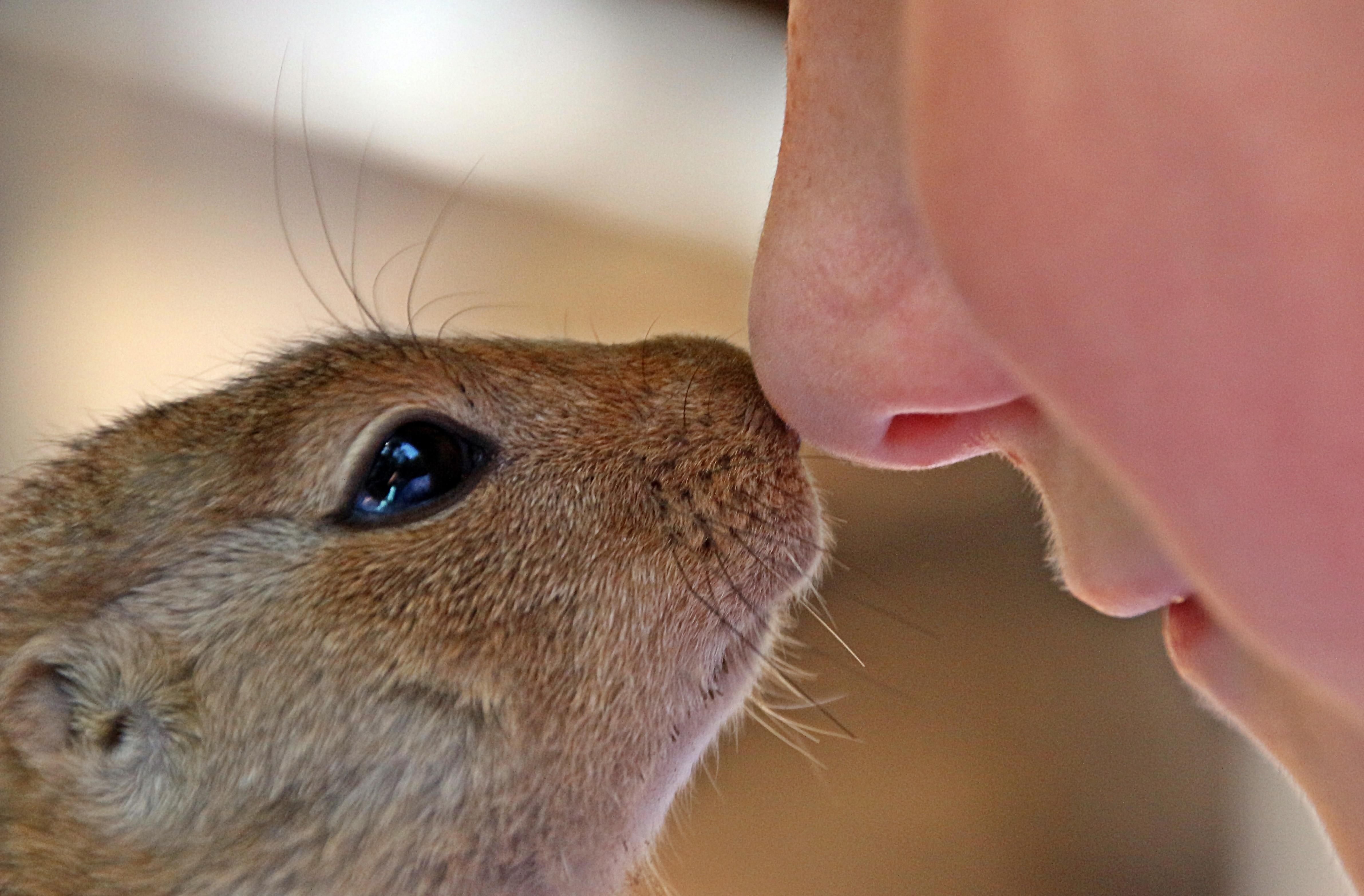 Free Images Mammal Hamster Rodent Fauna Close Up Whiskers Cheek Eye Skin Lips Vertebrate Trust Closeness Carefully Prairie Dog