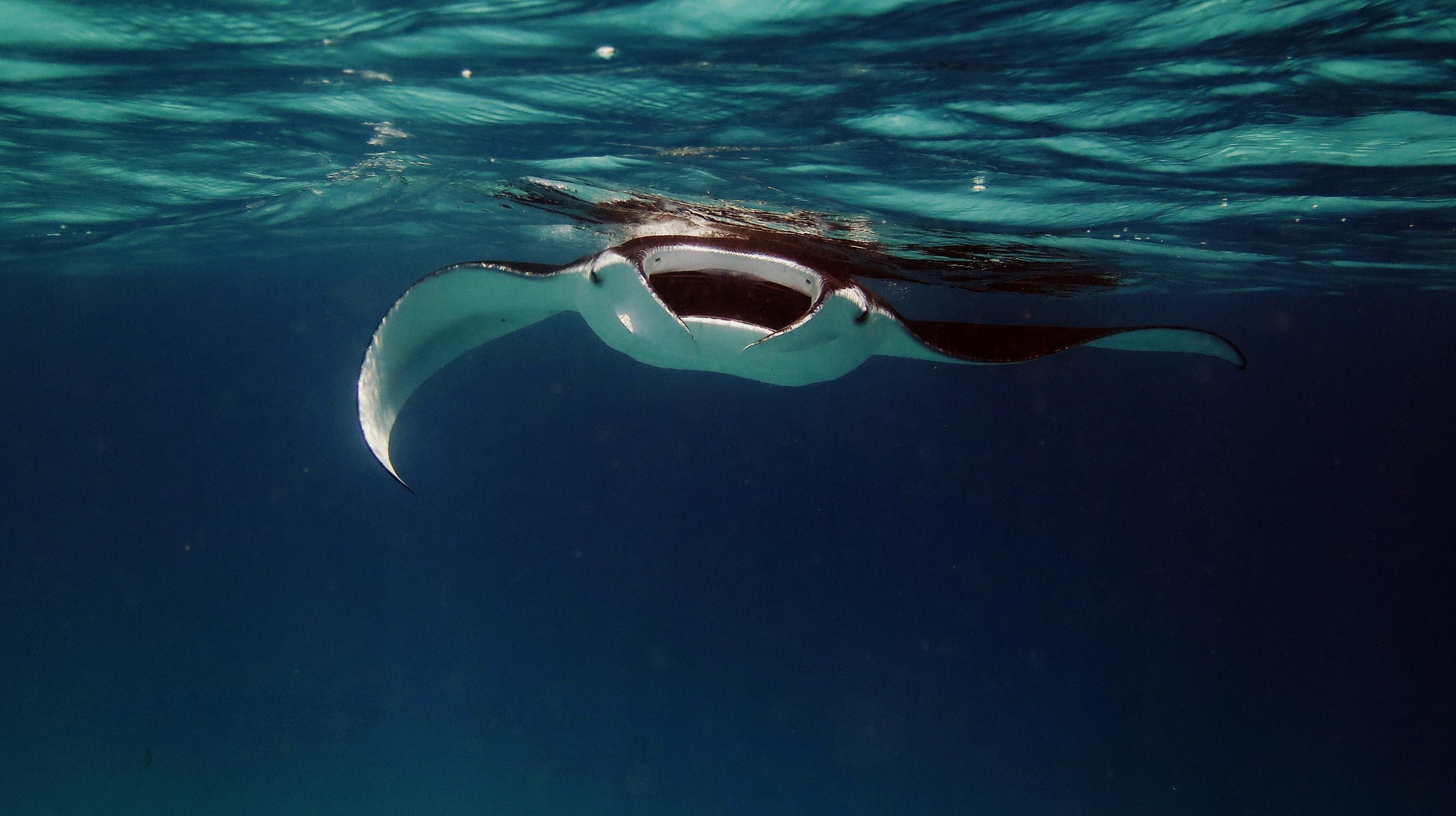 Images gratuites manta raie manta rayon oc an mer for Variedad de peces