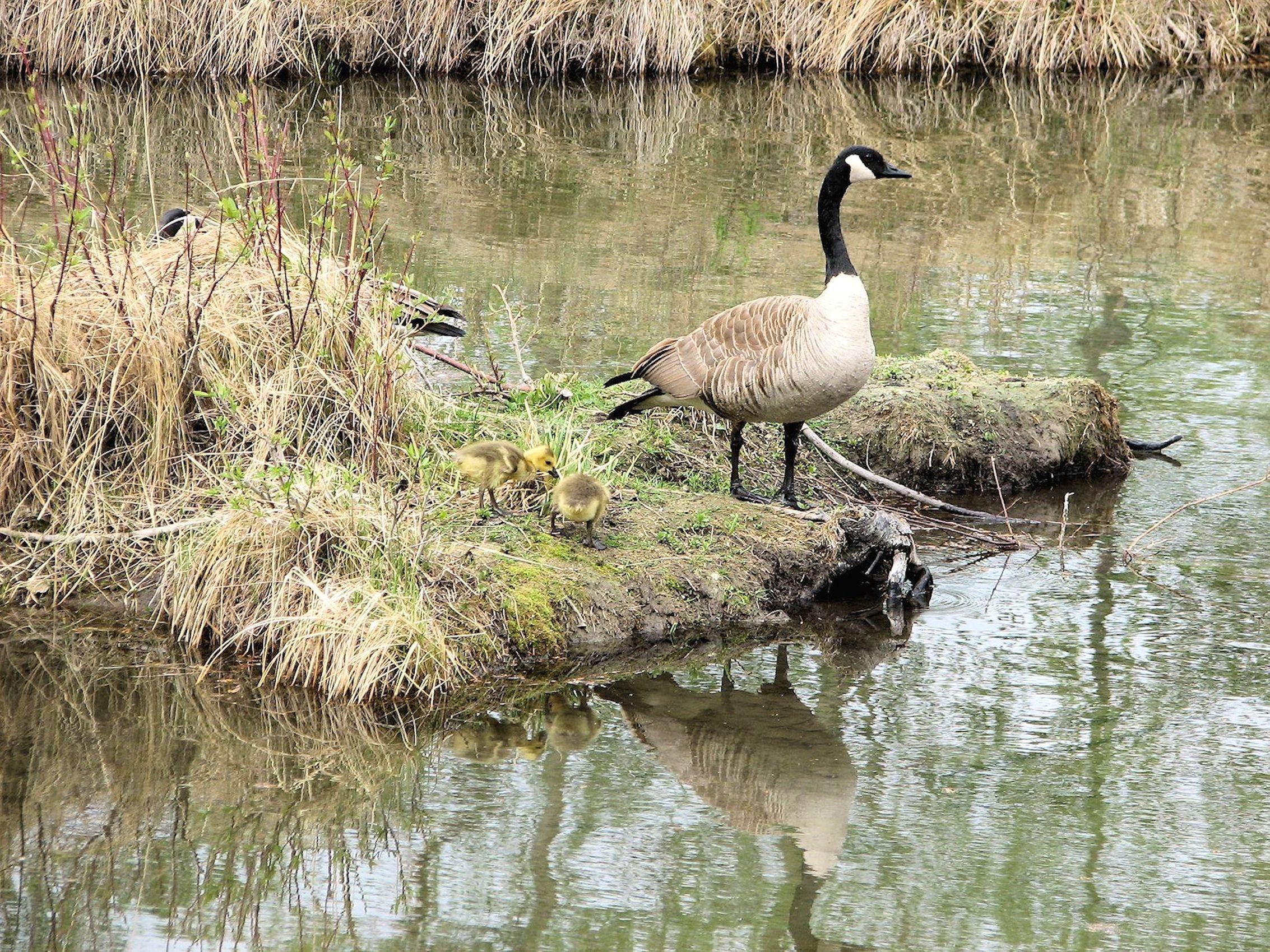 canada goose natural habitat