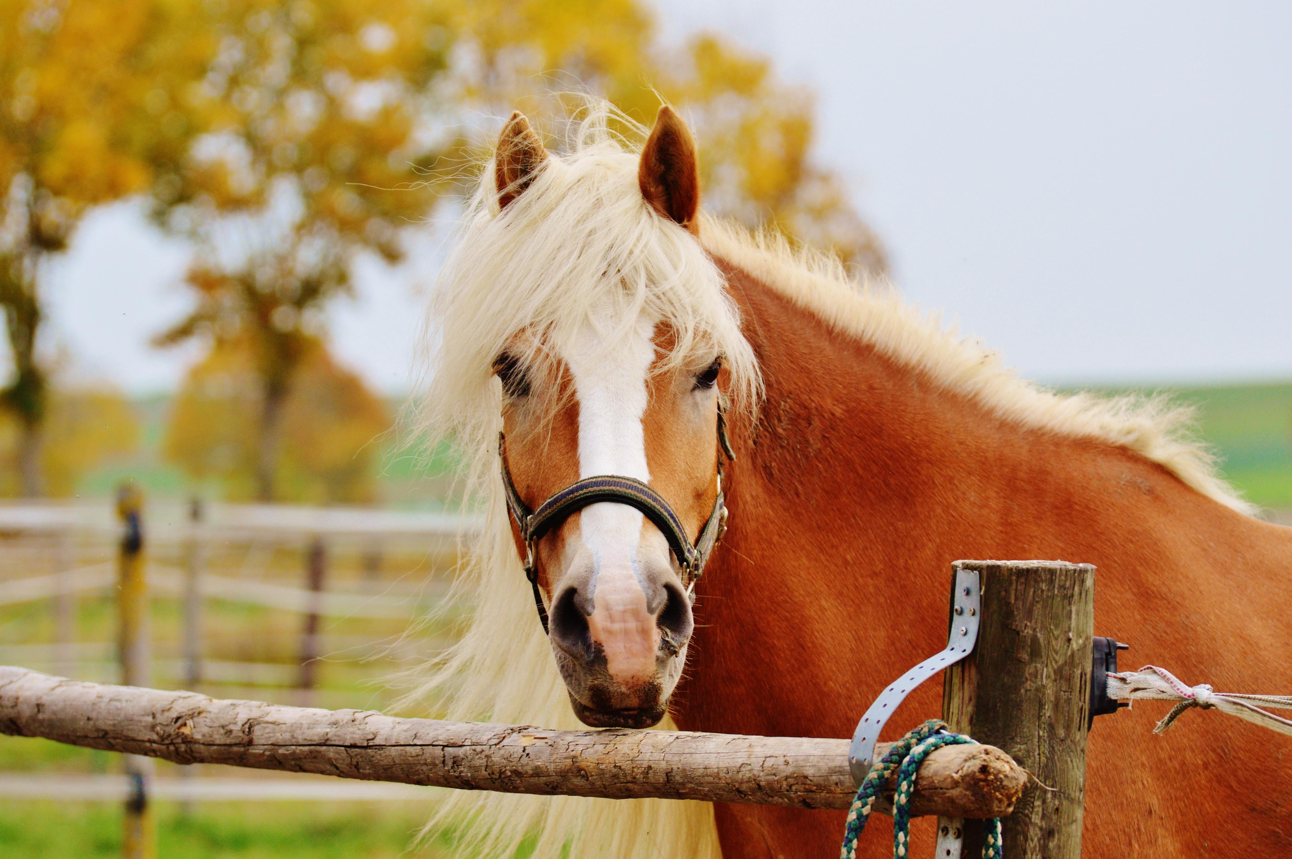 louka zvíře kůň podzim hnědý savec hřebec hříva jezdit barvitý fauna listy  obratlovců kobyla spojování Reiterhof 0110f17949