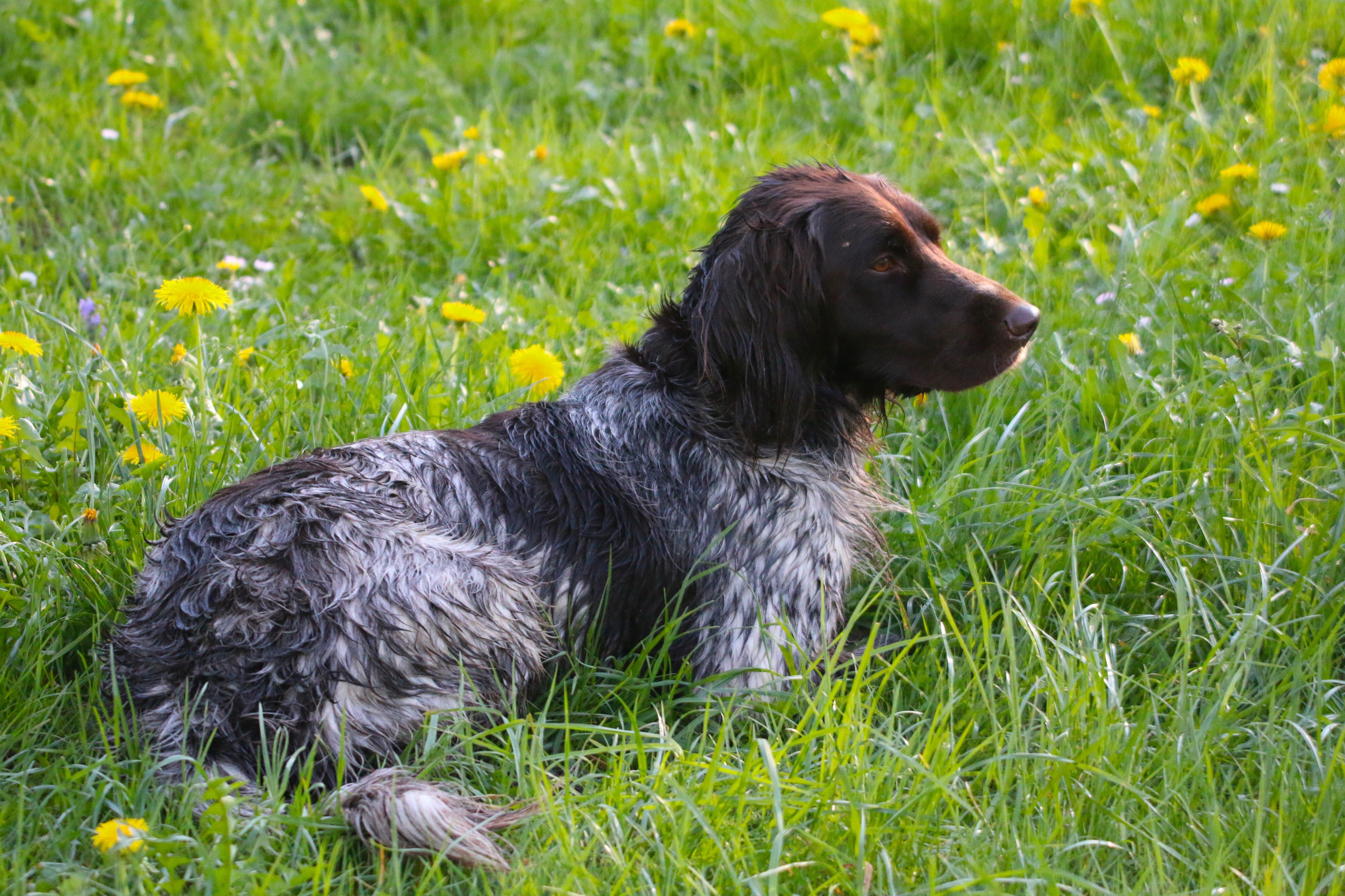 Free Images Meadow Vertebrate Dog Breed German