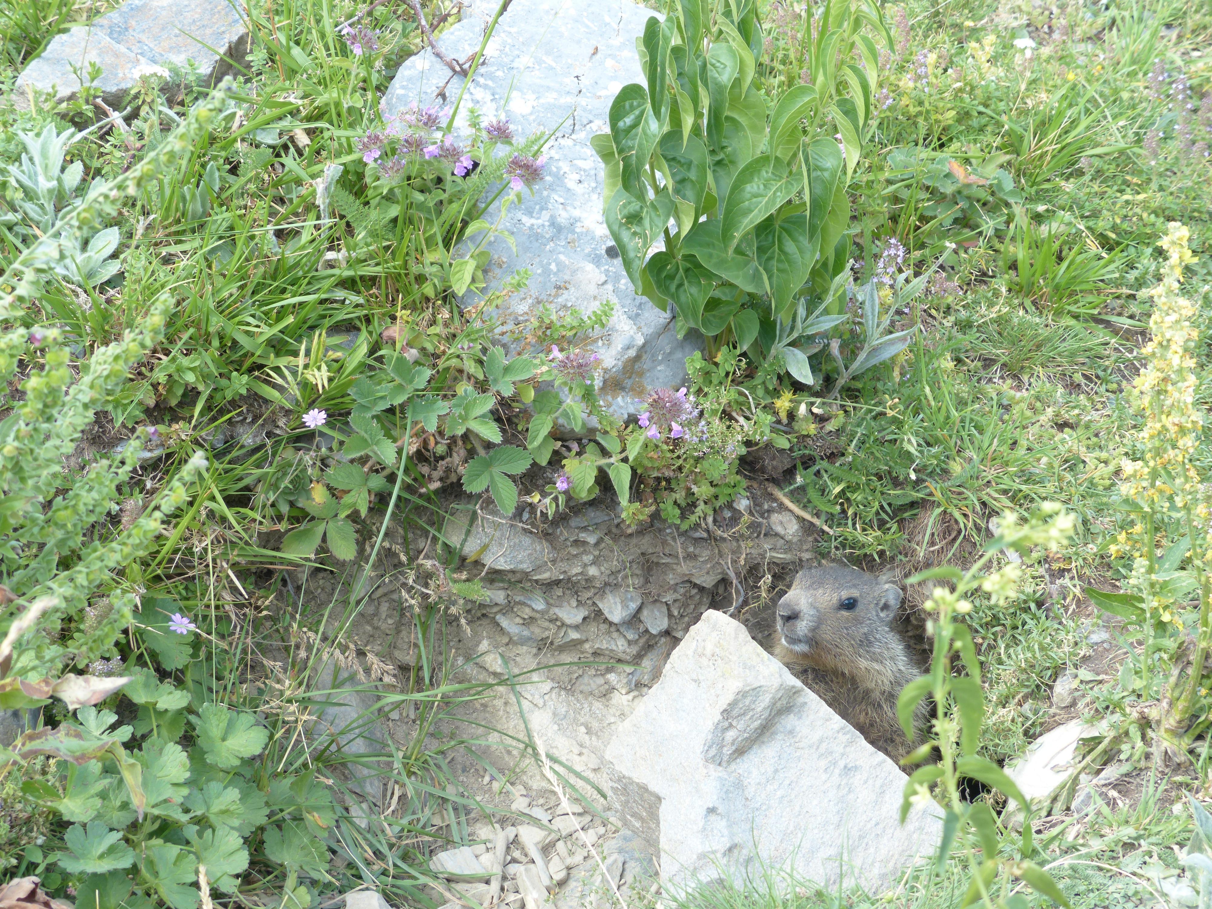 Free Images Hole Flower Wildlife Garden Rodent North Yard Mountain Meadow Marmot Engineering True Gophers Alpine Marmota