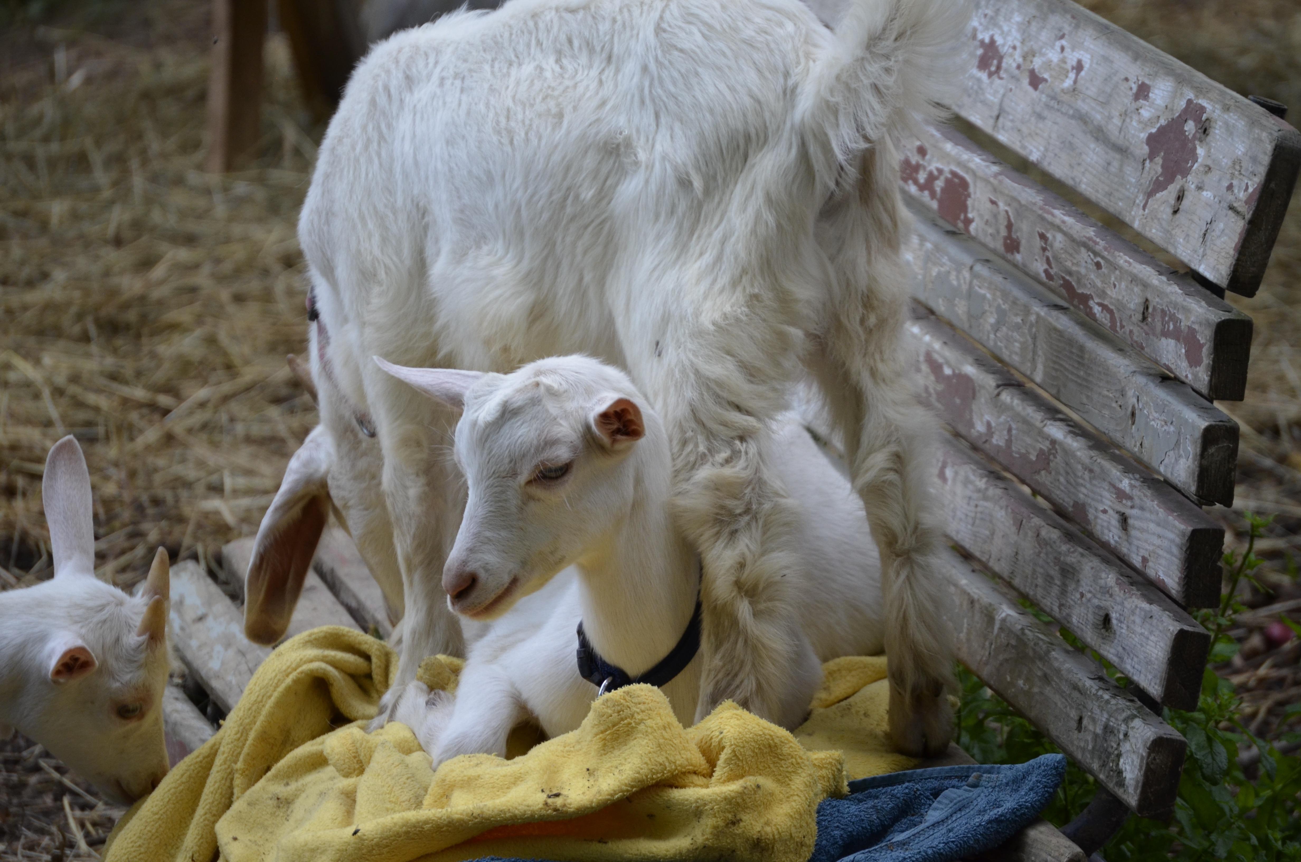 Images gratuites prairie enfant mignonne p turage - Photos de moutons gratuites ...