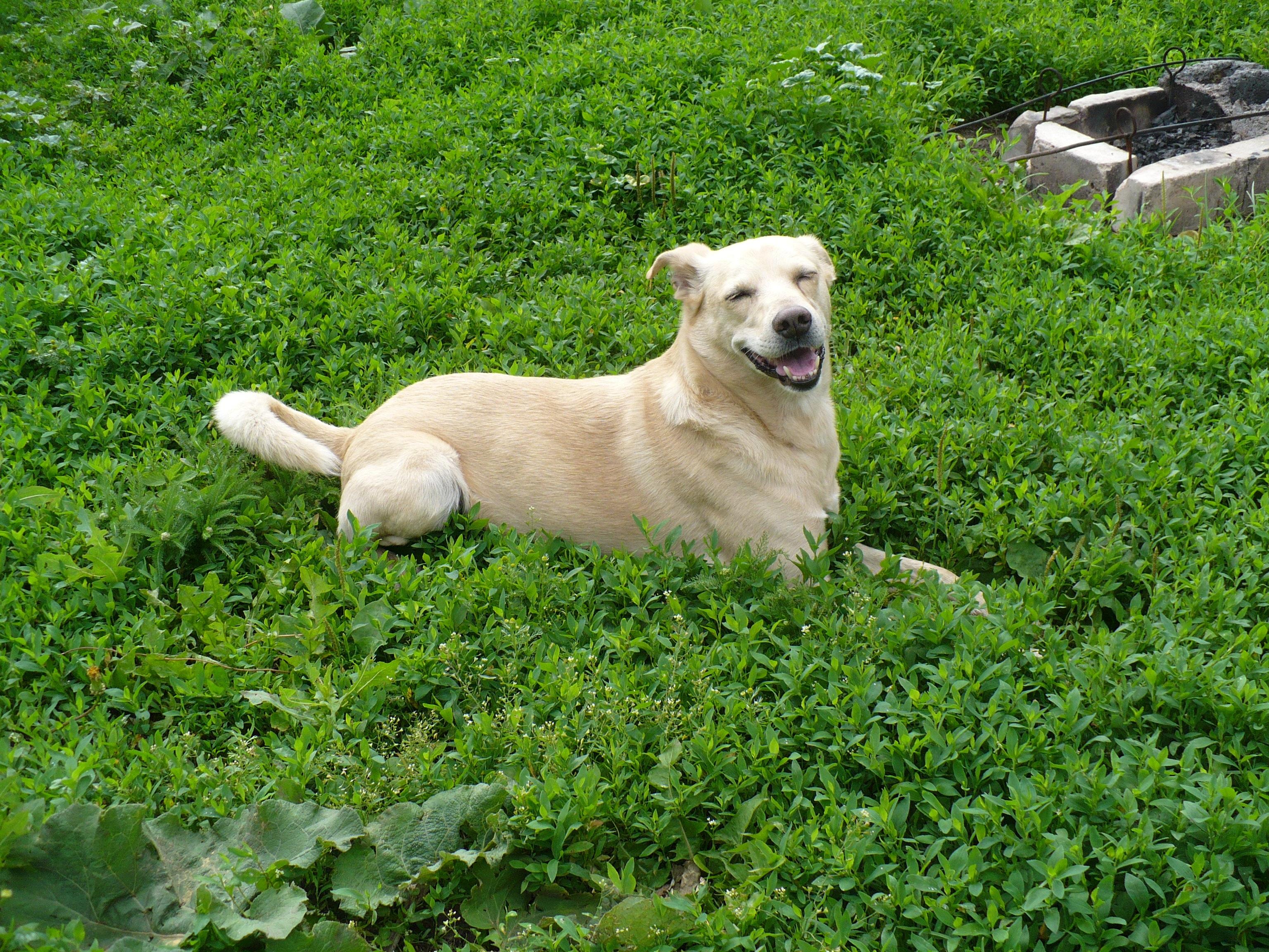 Images Gratuites : Prairie, chiot, chien, été, Golden retriever ...