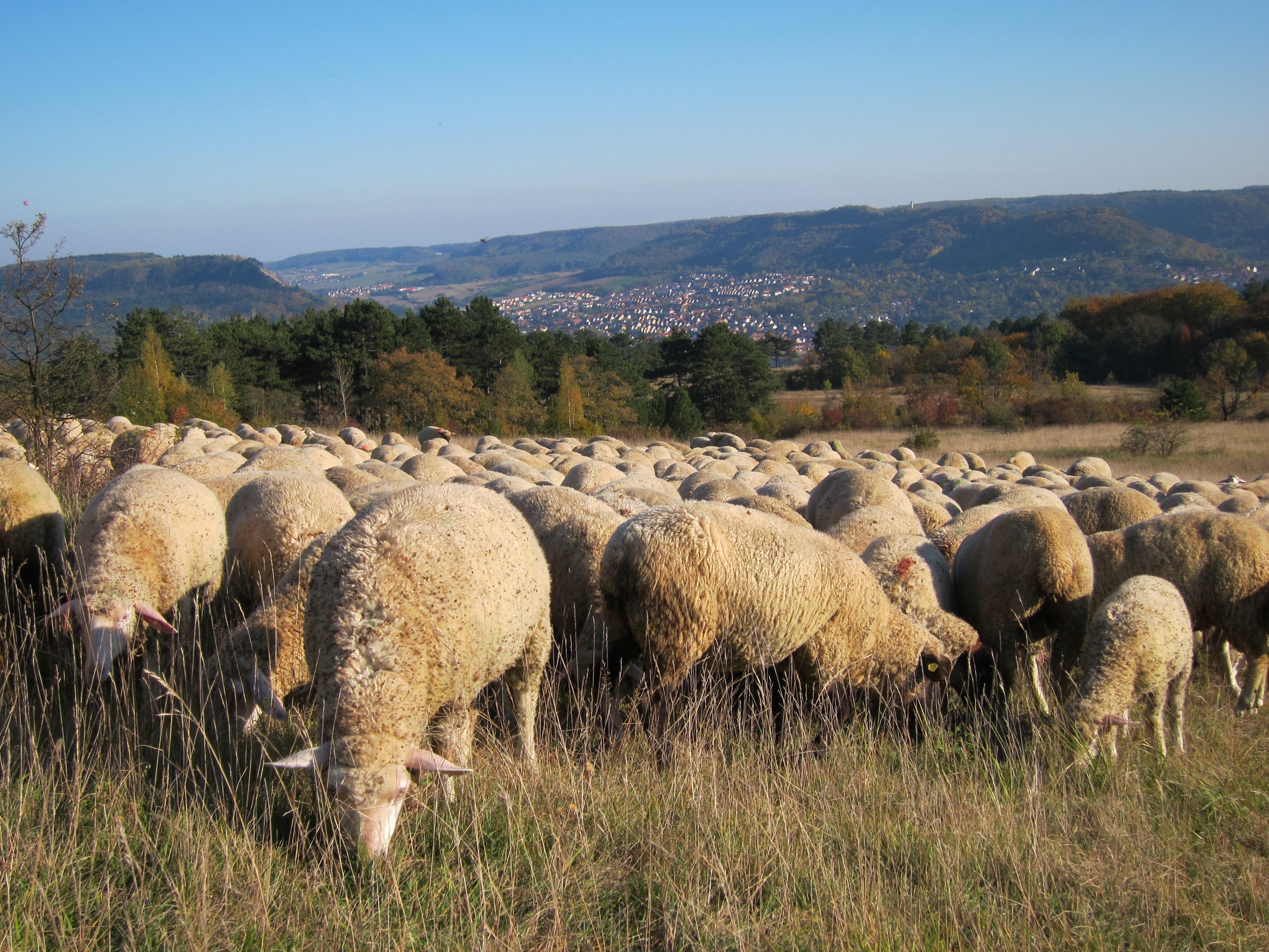 Herde  Kostenlose foto : Wiese, Tierwelt, Herde, Weide, Weiden, Schaf ...