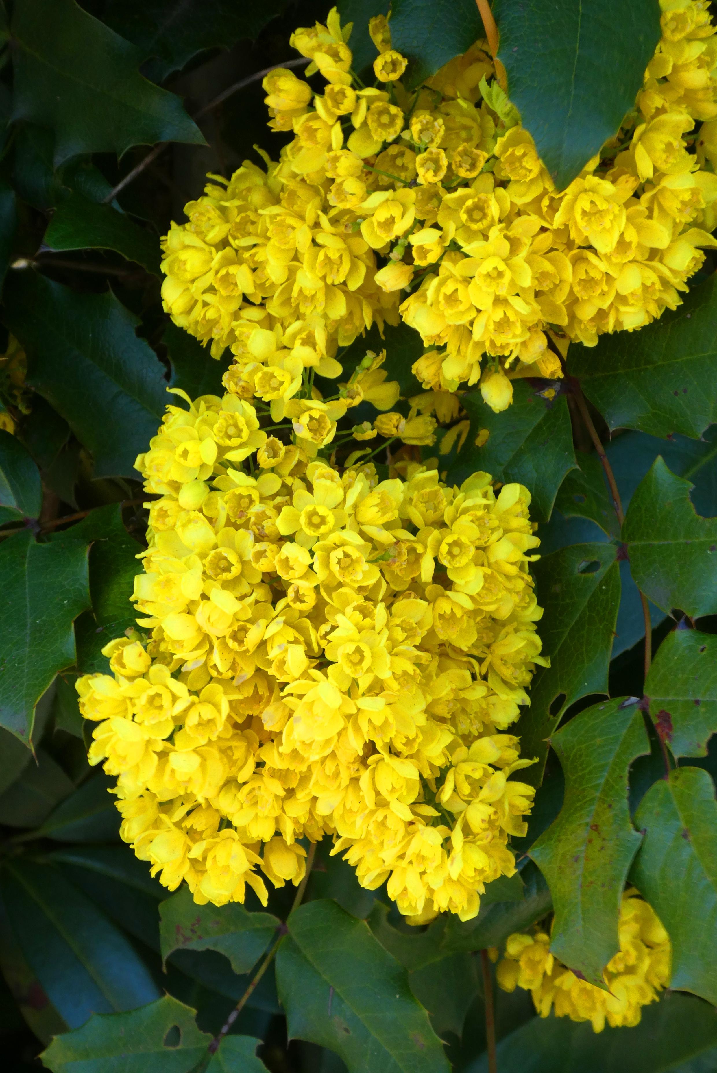 Pianta Fiori Gialli Primavera.Immagini Belle Mimosa Fiore Cespuglio Primavera Fiori