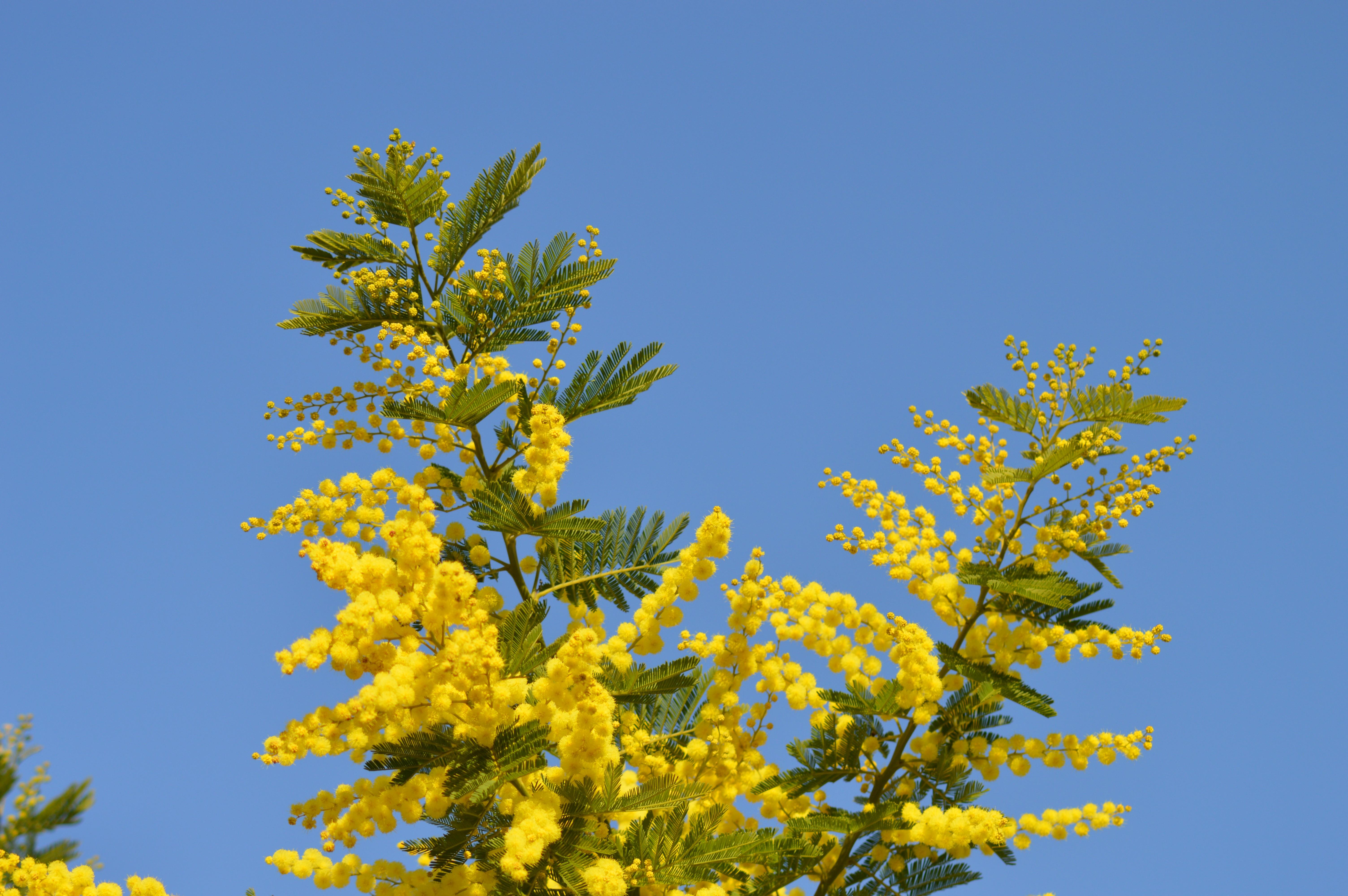 images gratuites mimosa fleurs fleur jaune france jardin provence 6016x4000 1369040. Black Bedroom Furniture Sets. Home Design Ideas