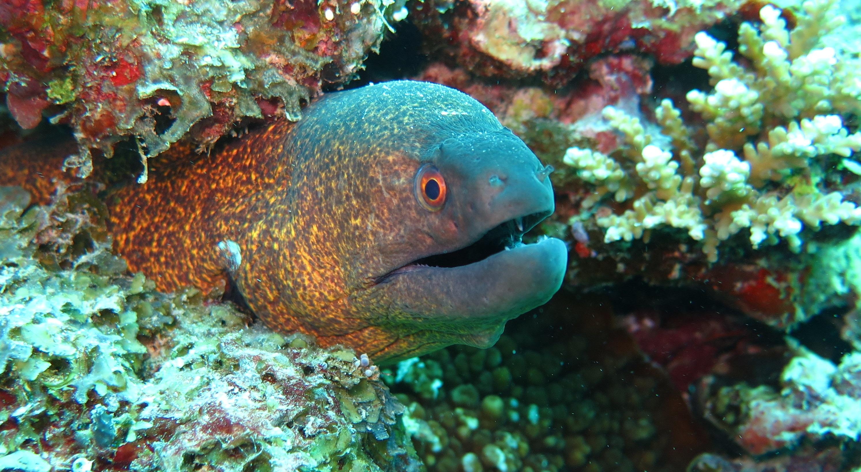 Free Images Moray Eel Fish Sea Ocean Marine Reef Aquatic Coral 2986x1634 1370047 Free Stock Photos Pxhere