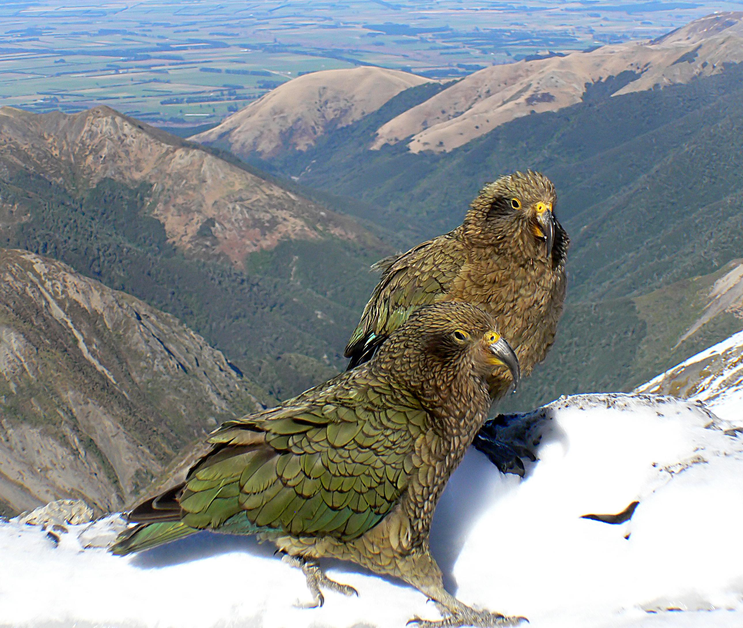 kostenlose foto berg vogel gebirge tierwelt fauna raubvogel wirbeltier papagei. Black Bedroom Furniture Sets. Home Design Ideas