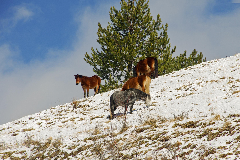 free images mountain snow wildlife herd italy season