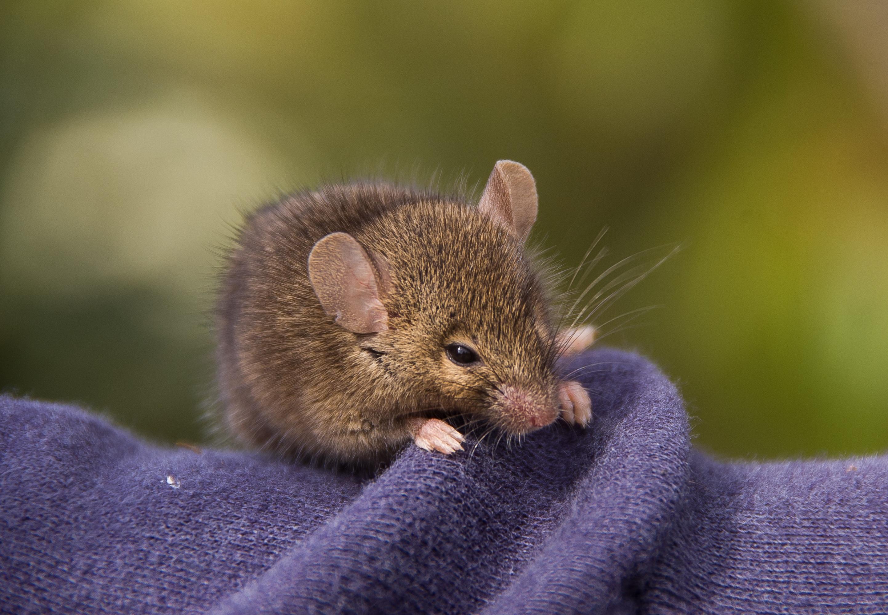 アンテキヌス マウス 可愛い 野生動物 野生 毛皮 褐色 哺乳類 齧歯類 動物相 閉じる オーストラリア ラット