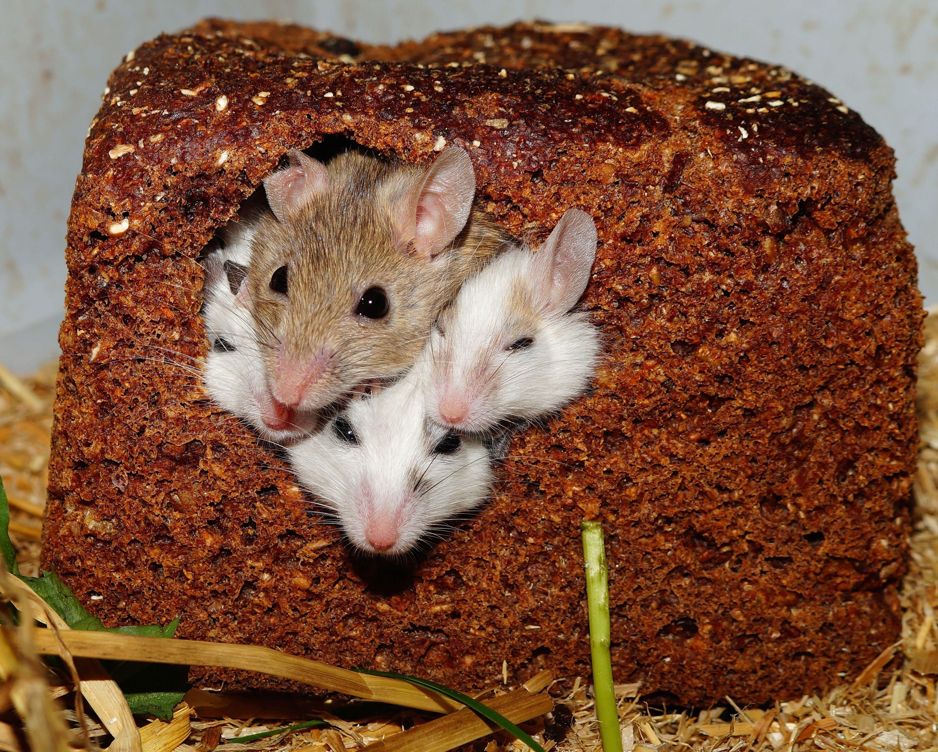 картинки с мышами смешные элементы служат