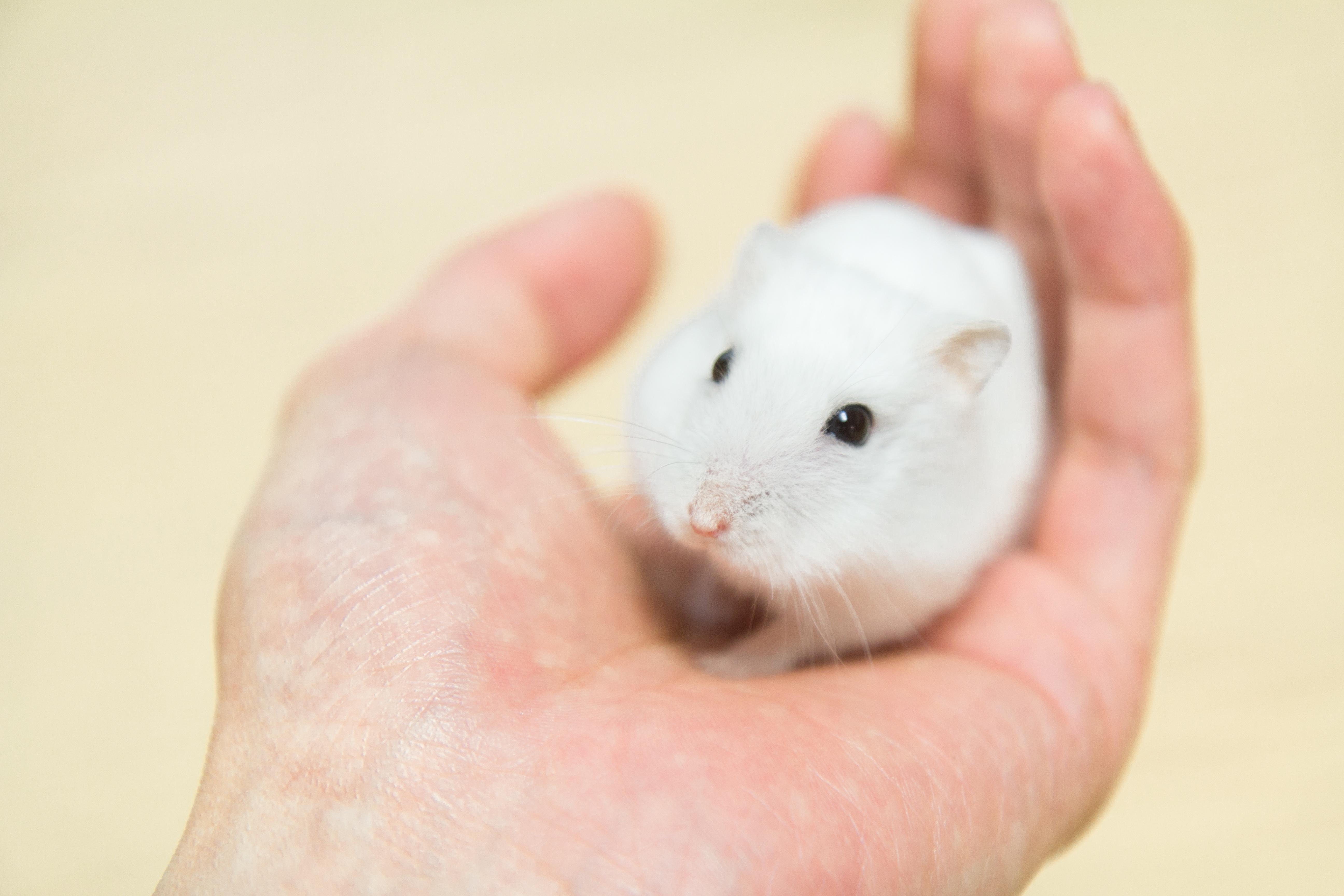 хомяки и крысы фото