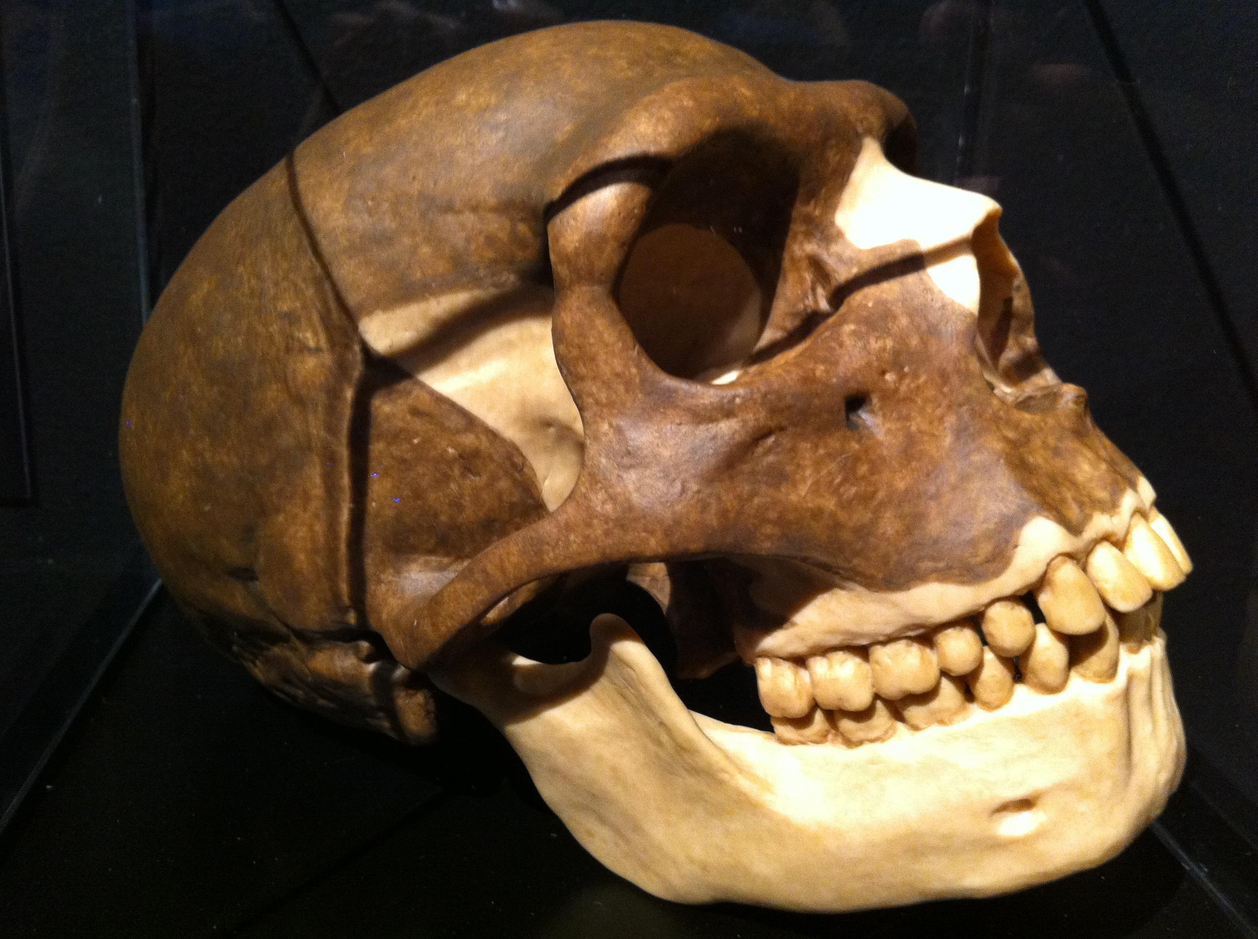 Free Images Museum Skull Bone Sculpture Art History Skeleton Carving Prehistoric Jaw 2592x1936 1049736 Free Stock Photos Pxhere