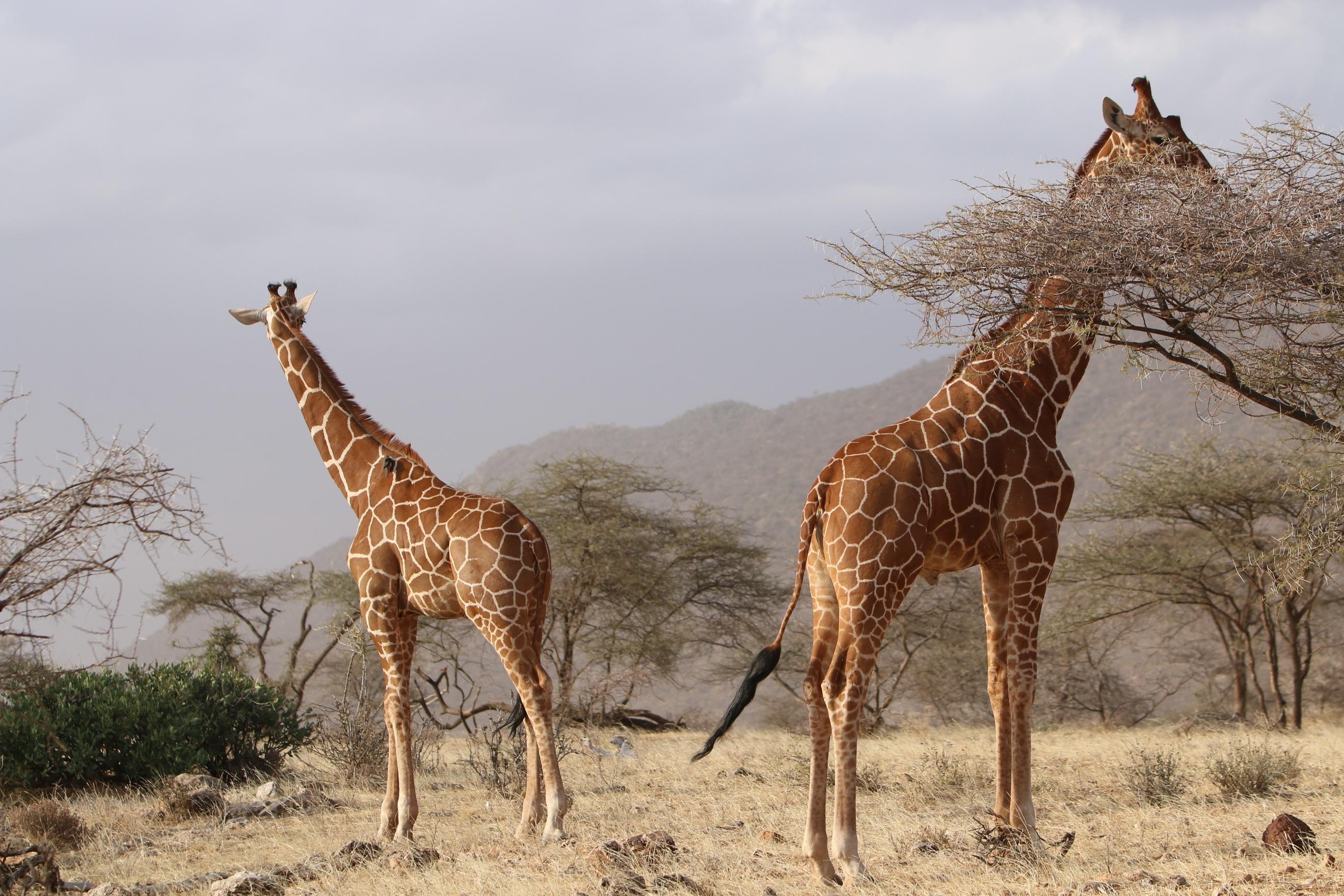 фото жирафа в природе ниндзя ниндзя то